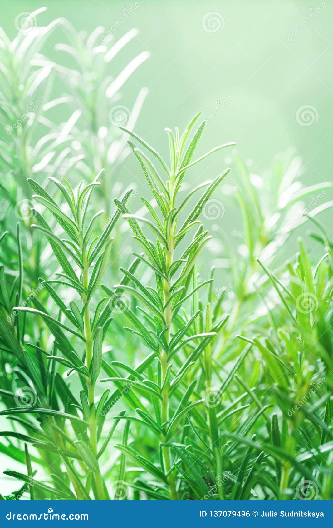 Rozmaryny zasadzają w ogródzie Kulinarny aromatyczny ziele