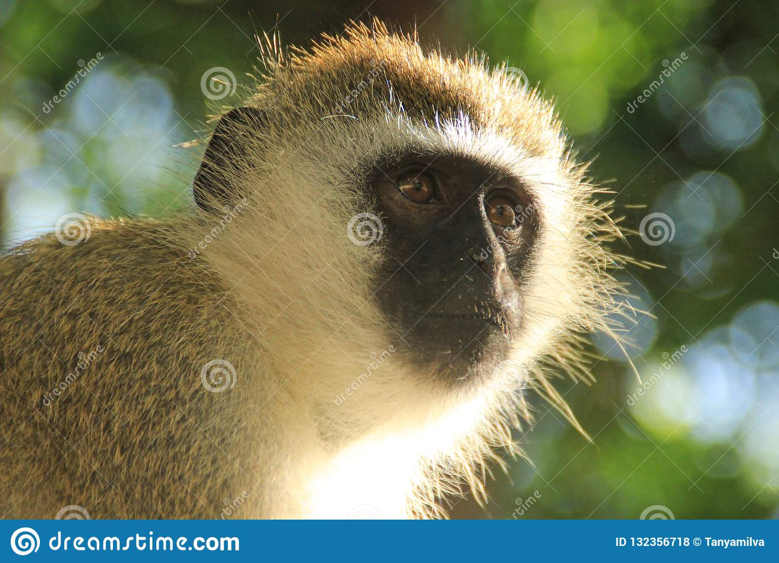 Rozważny małpi portret Mieszkanowie dżungla