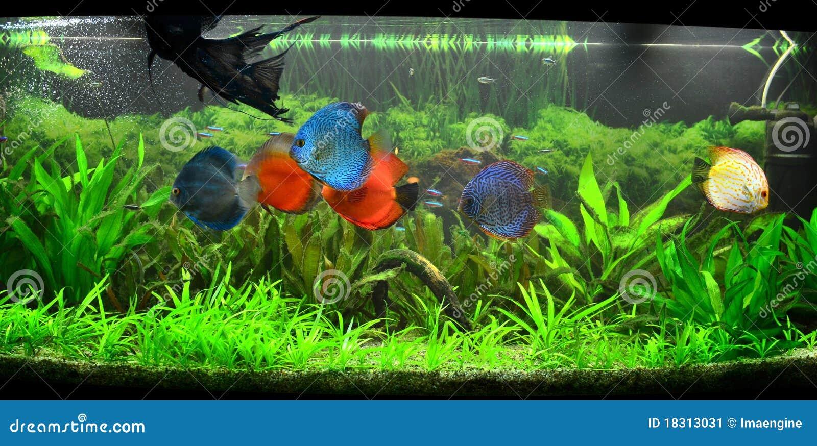 r servoir de poissons exotique aquarium amazonien image stock image 18313031. Black Bedroom Furniture Sets. Home Design Ideas