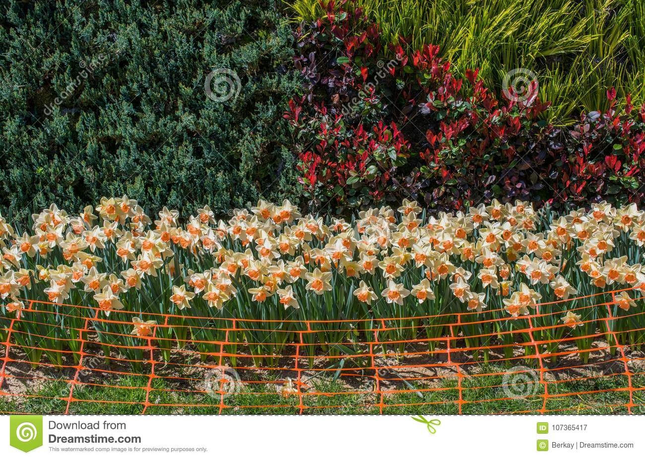 Rubber Fence In The Tulip Garden Stock Image - Image of colored ...