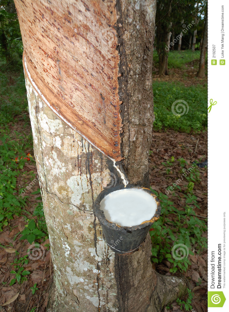 Rubber Natural Resource