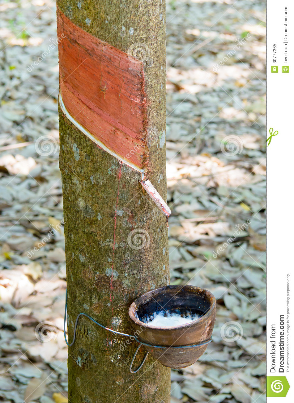 Rubber Tapping A Rubber Tree Stock Image Image Of Agriculture