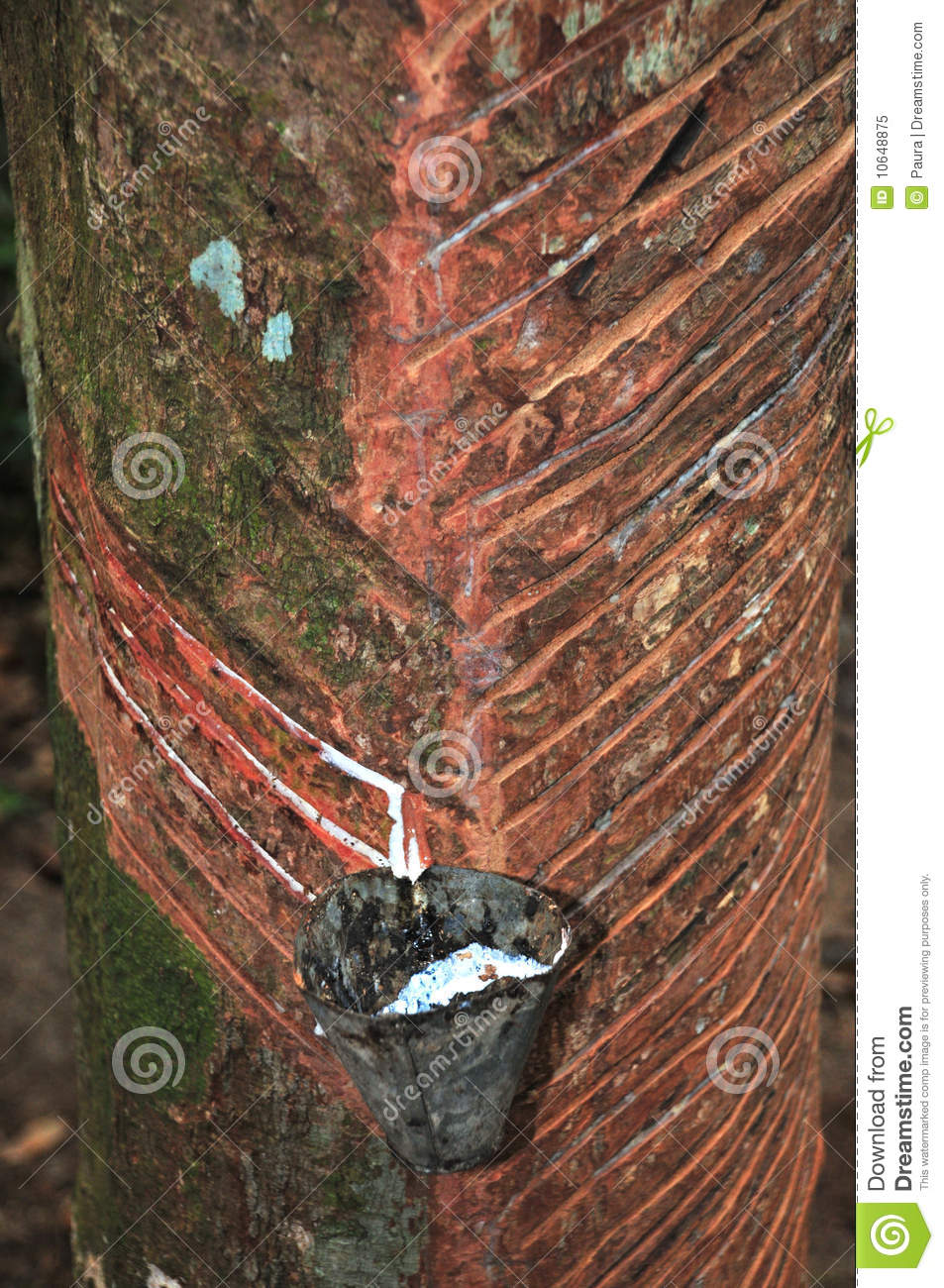 Rubber Tree dripping latex
