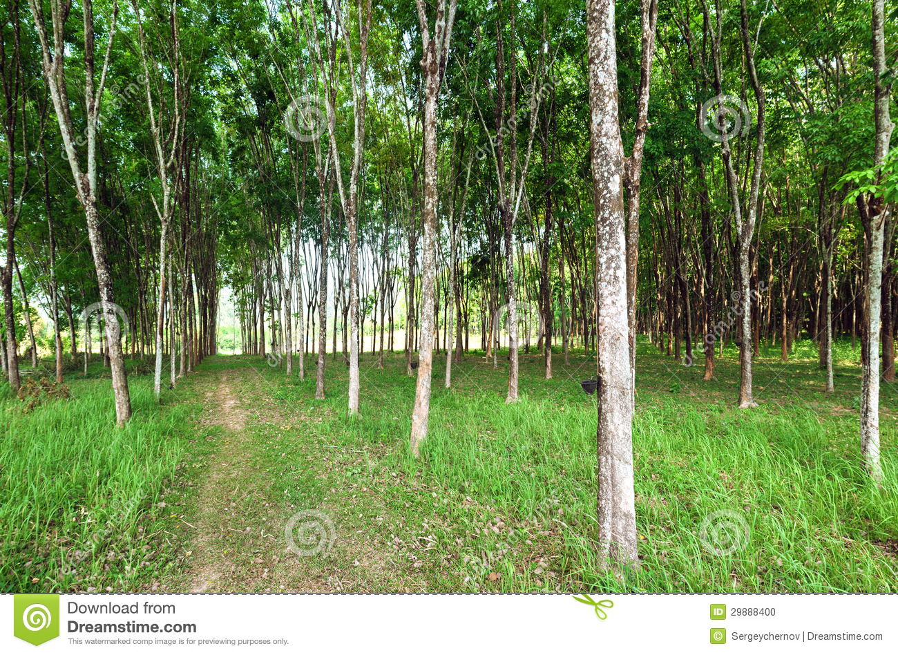 Rubber Tree Natural Latex Extraction Stock Photo Image