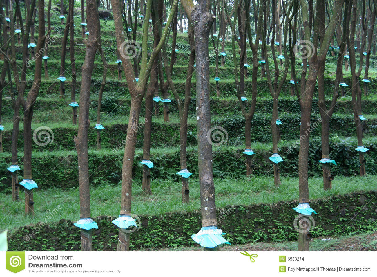 Rubber Tree Plantation Stock Images Image 6583274