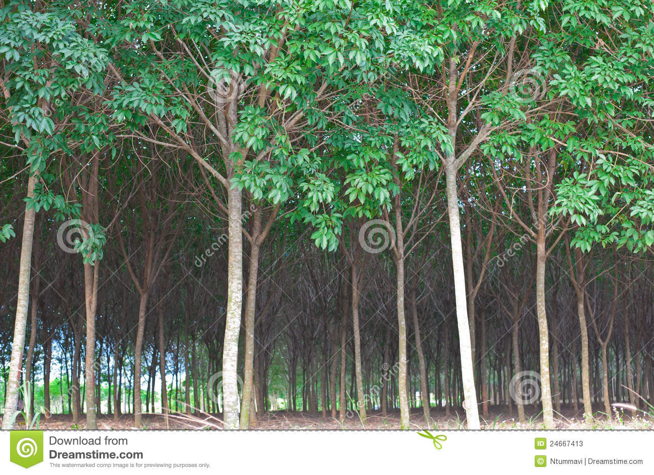 Rubber Tree Rain Forest Stock Photos Image 24667413