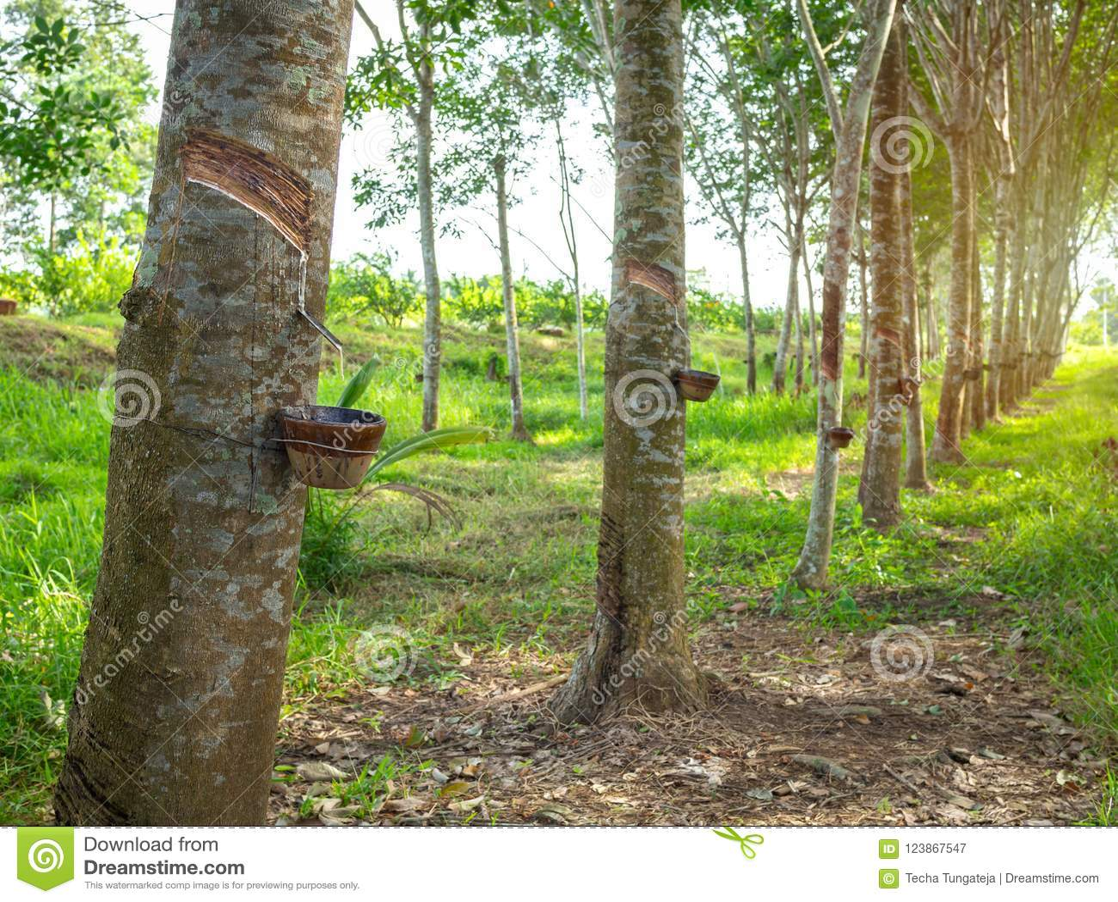 Rubber tree stock image  Image of green, farm, landscape