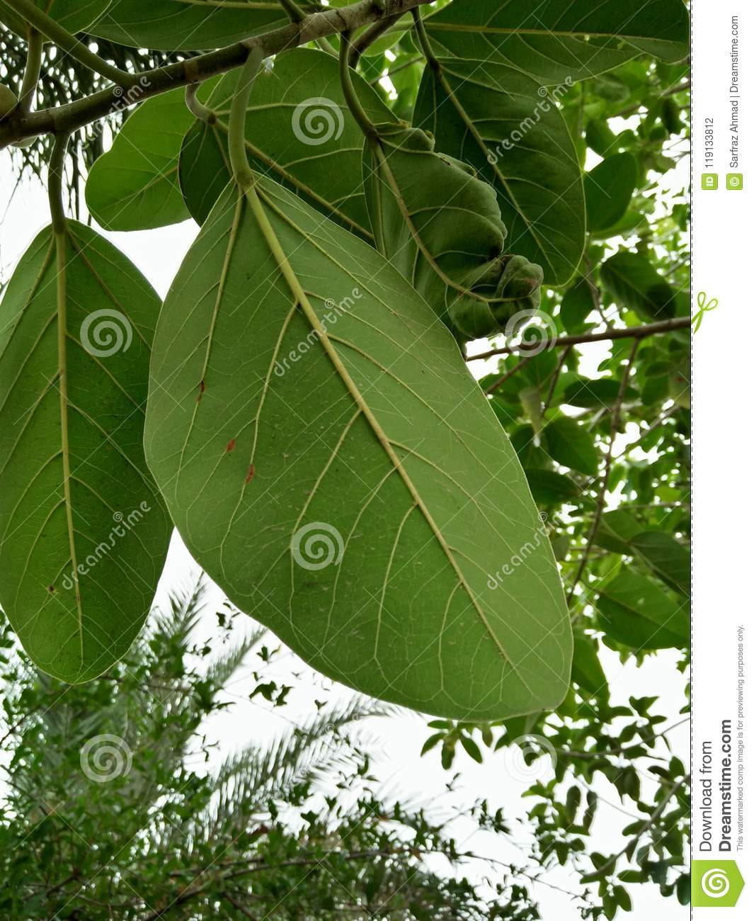 RUBBER TREE /RUBBER FIG TREE /RUBBER WOOD TREE Stock Photo