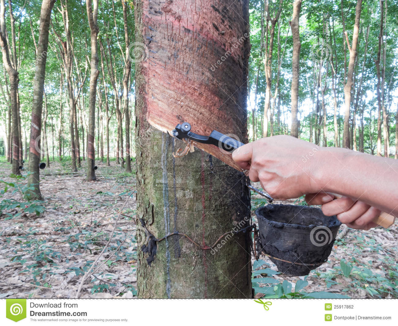 rubber tree tapping 25917862