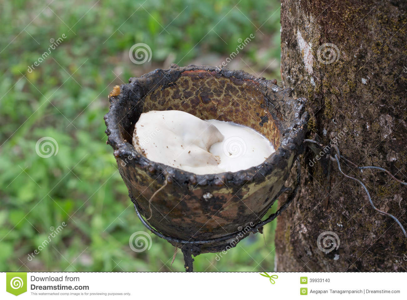 Rubber tree stock photo  Image of branch, idyllic, landscape