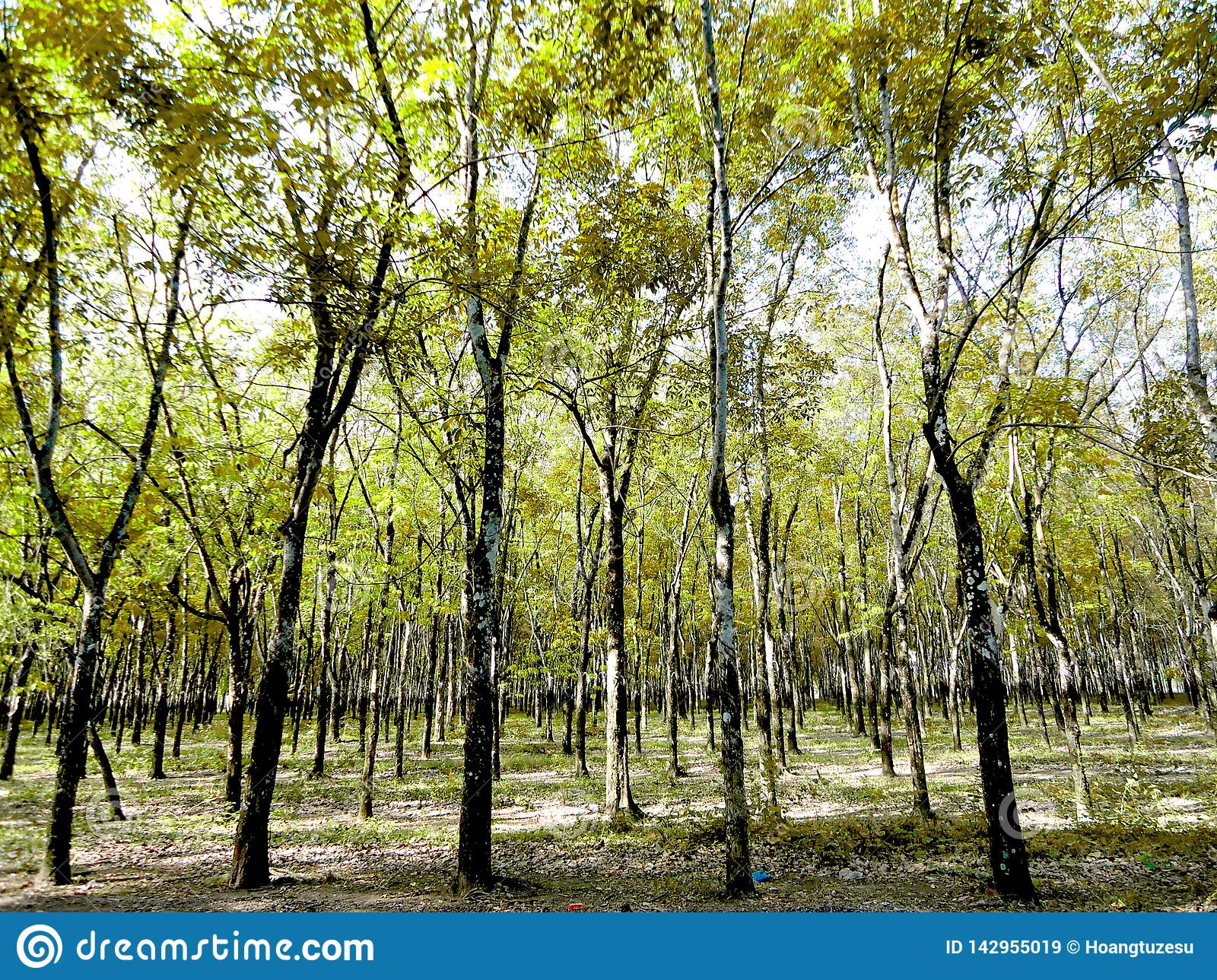 Rubber Trees, Industrial Plants, Long-day Plants Stock Image