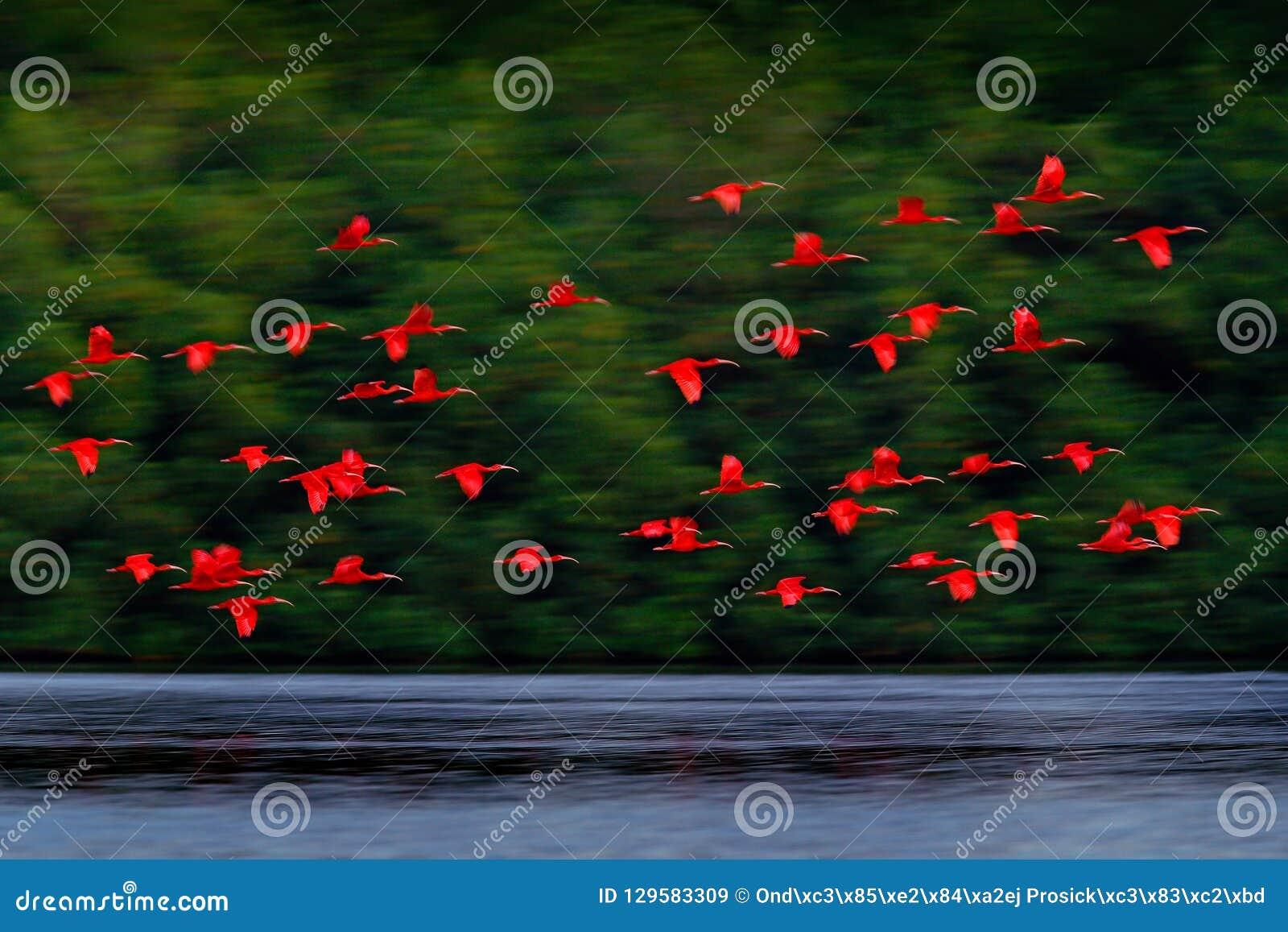 Ruber d écarlate IBIS, d Eudocimus, oiseau rouge exotique, habitat de nature, colonie d oiseau volant dessus au-dessus de la rivi