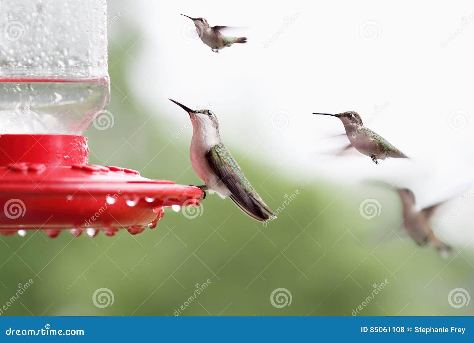 Rubin-Throated kolibrisammanträde på förlagemataren