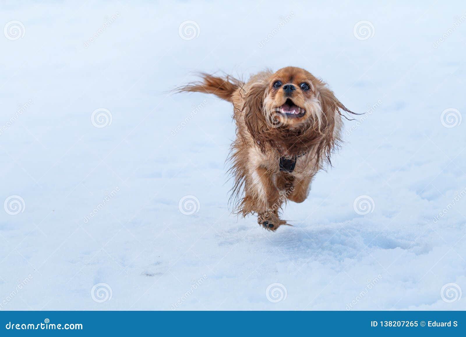 Rubinowy nonszalancki królewiątka Charles spaniel w śniegu