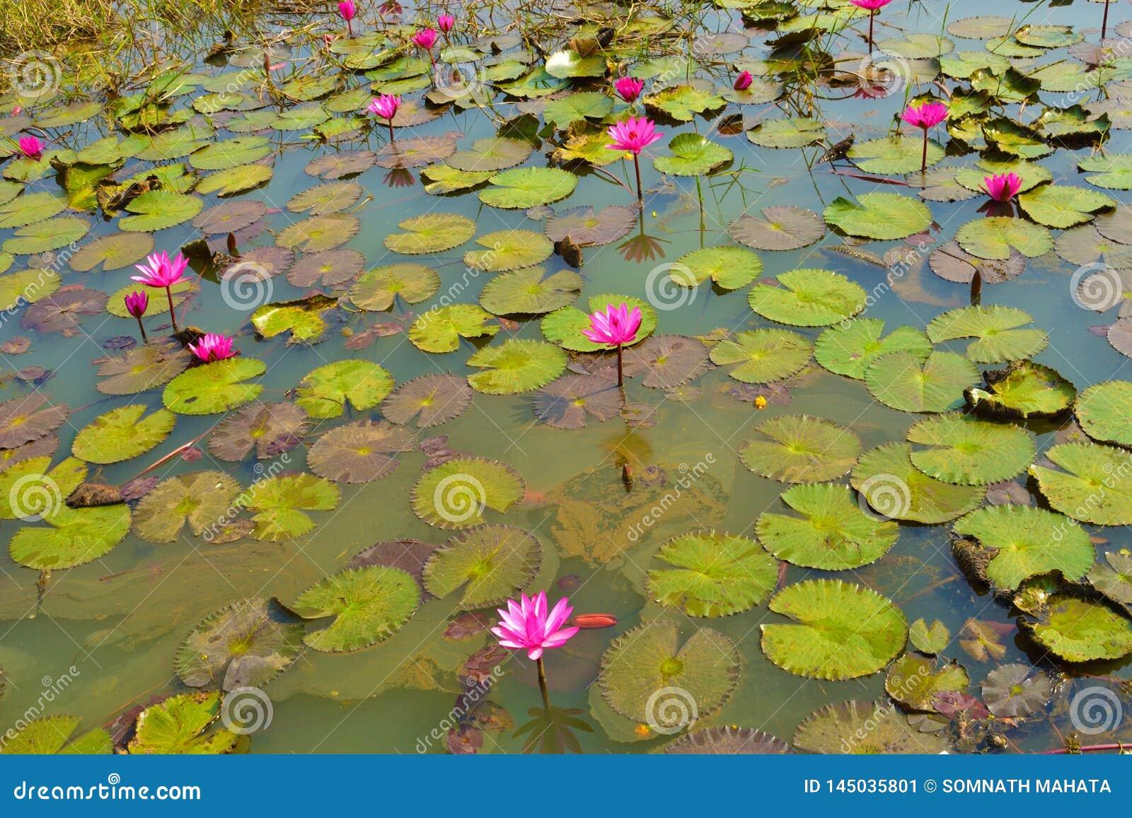 Rubra do Nymphaea dos lírios de água cor-de-rosa ou vermelha em um lago rural natural este tipo da flor igualmente chamou o sha