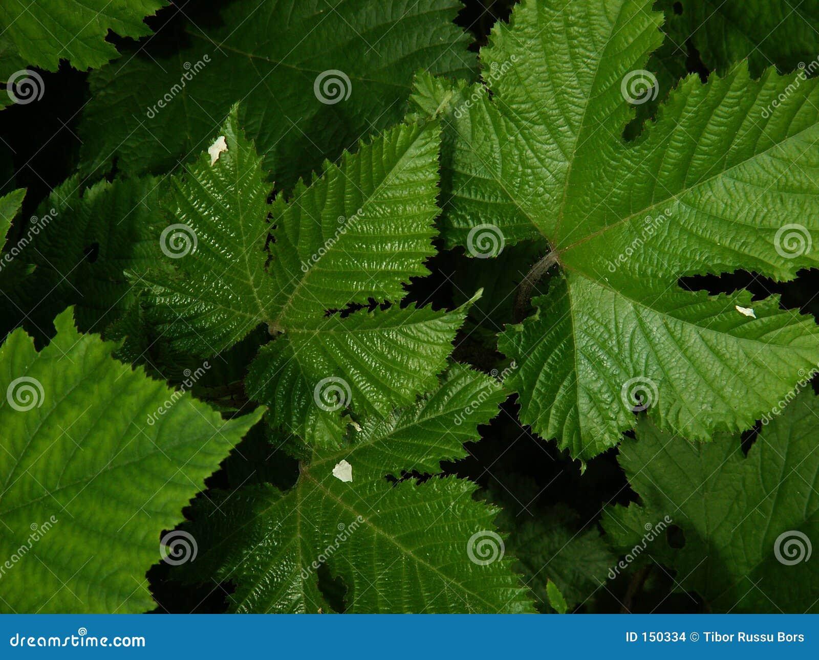 Rubus leaves