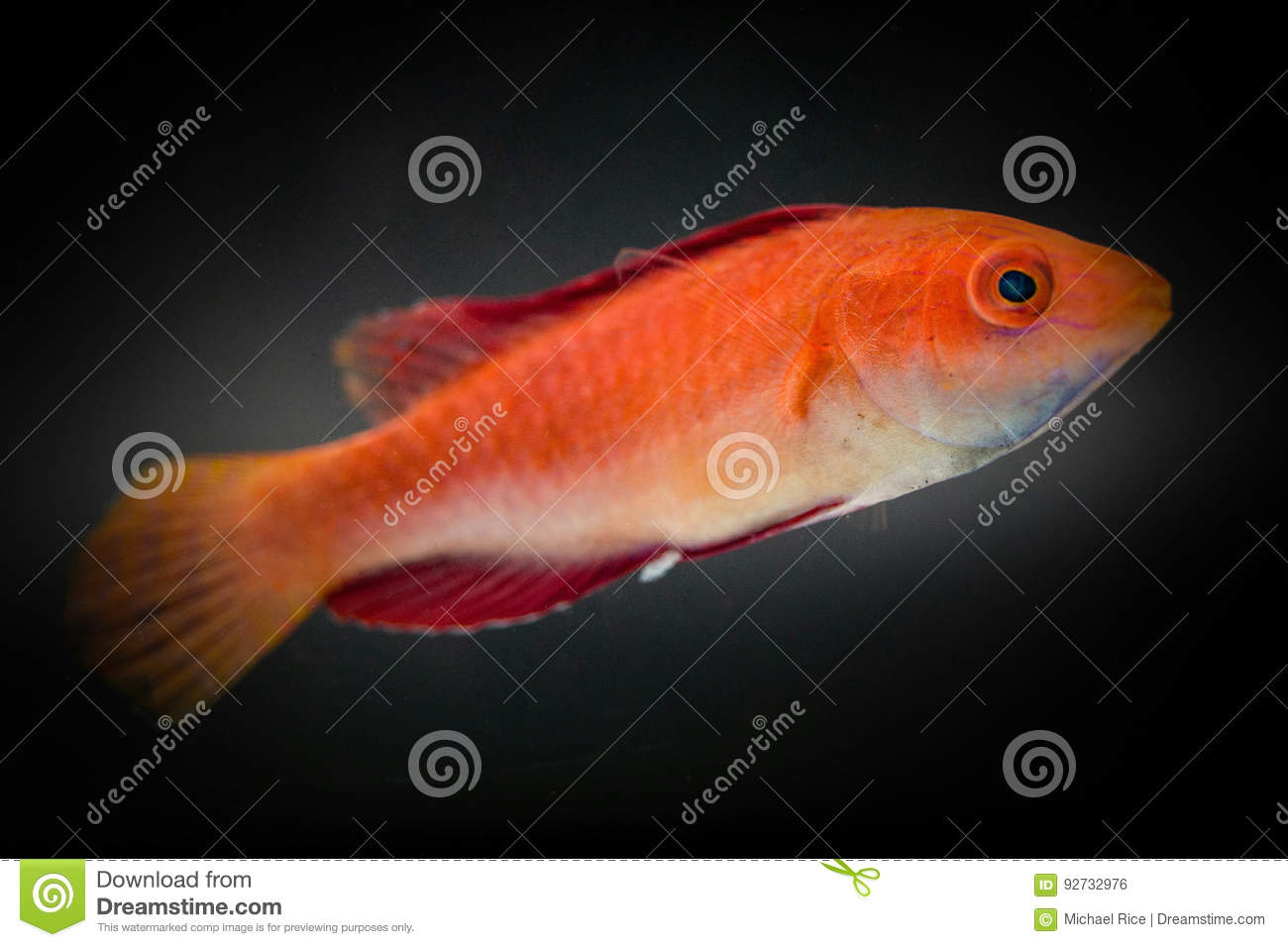 Ruby fin flasher wrasse
