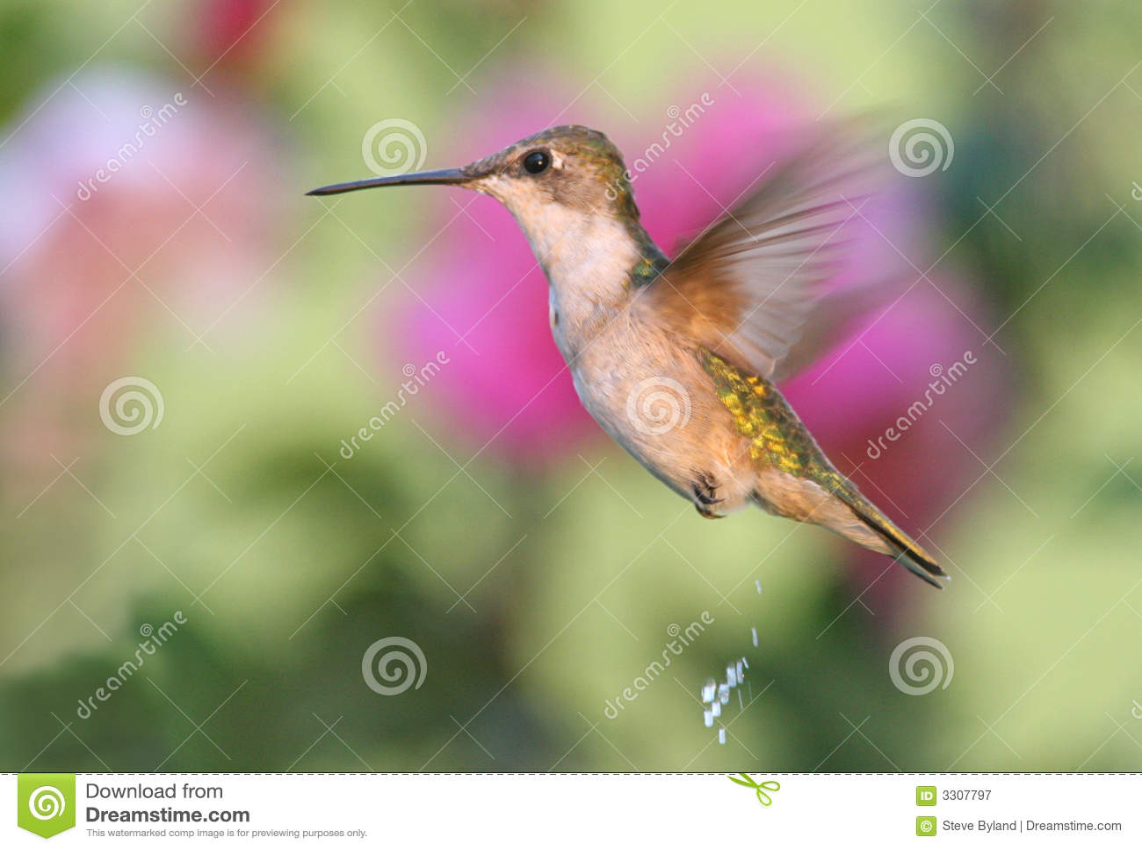 Hummingbird And Honeysuckle Tattoo Ruby throated hummingbird