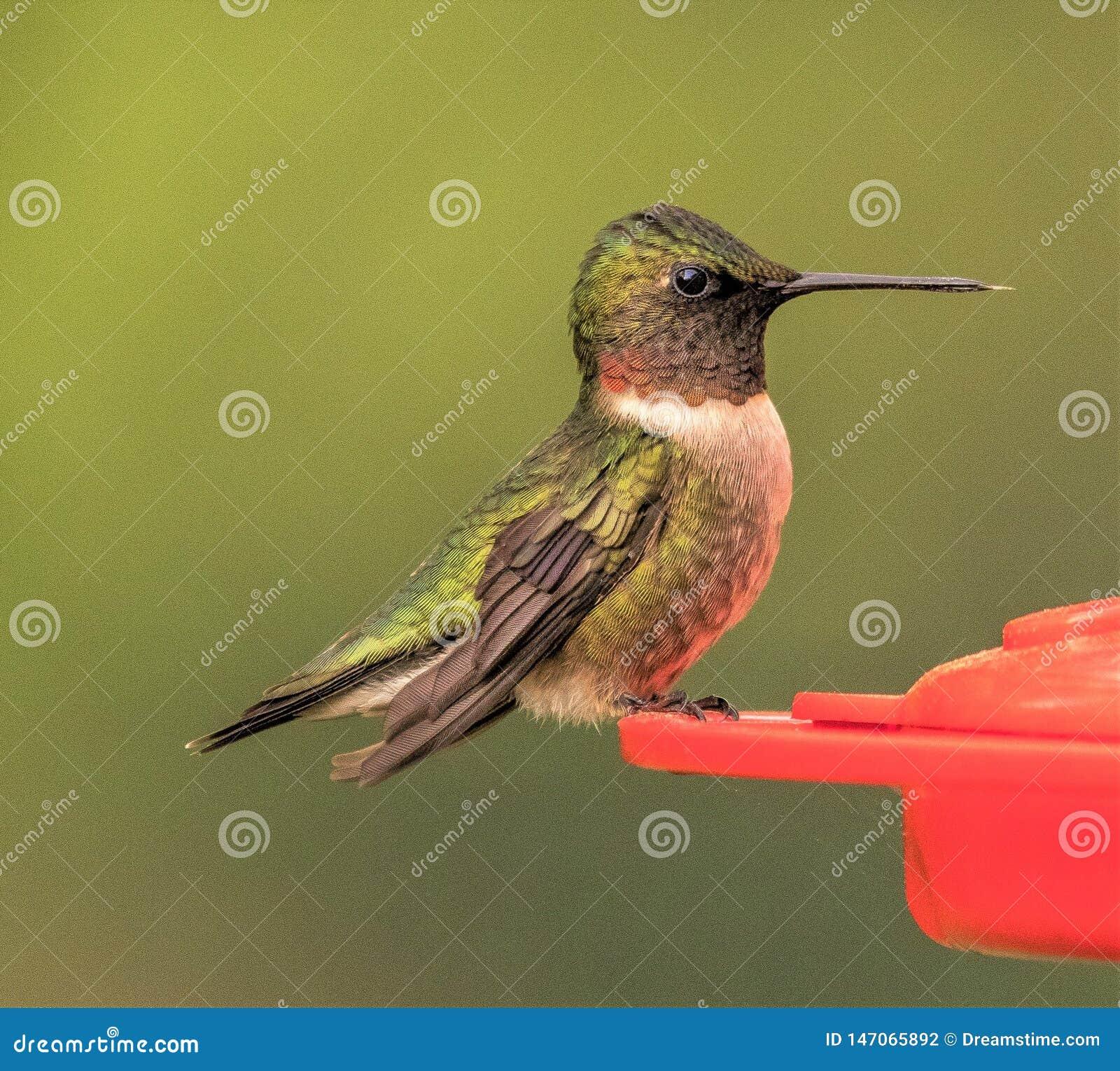 Ruby Throated Hummingbird empoleirado