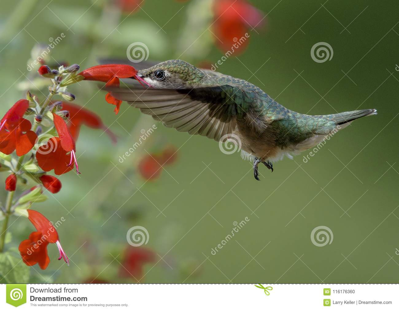 Ruby-throated Hummingbird and Red Flowers