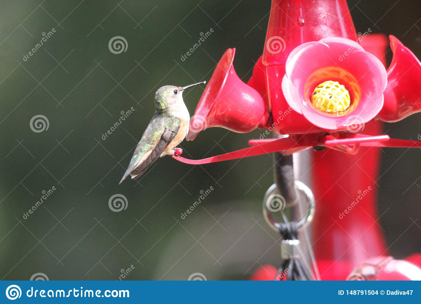 Ruby Throated Hummingbird South Central Manitoba