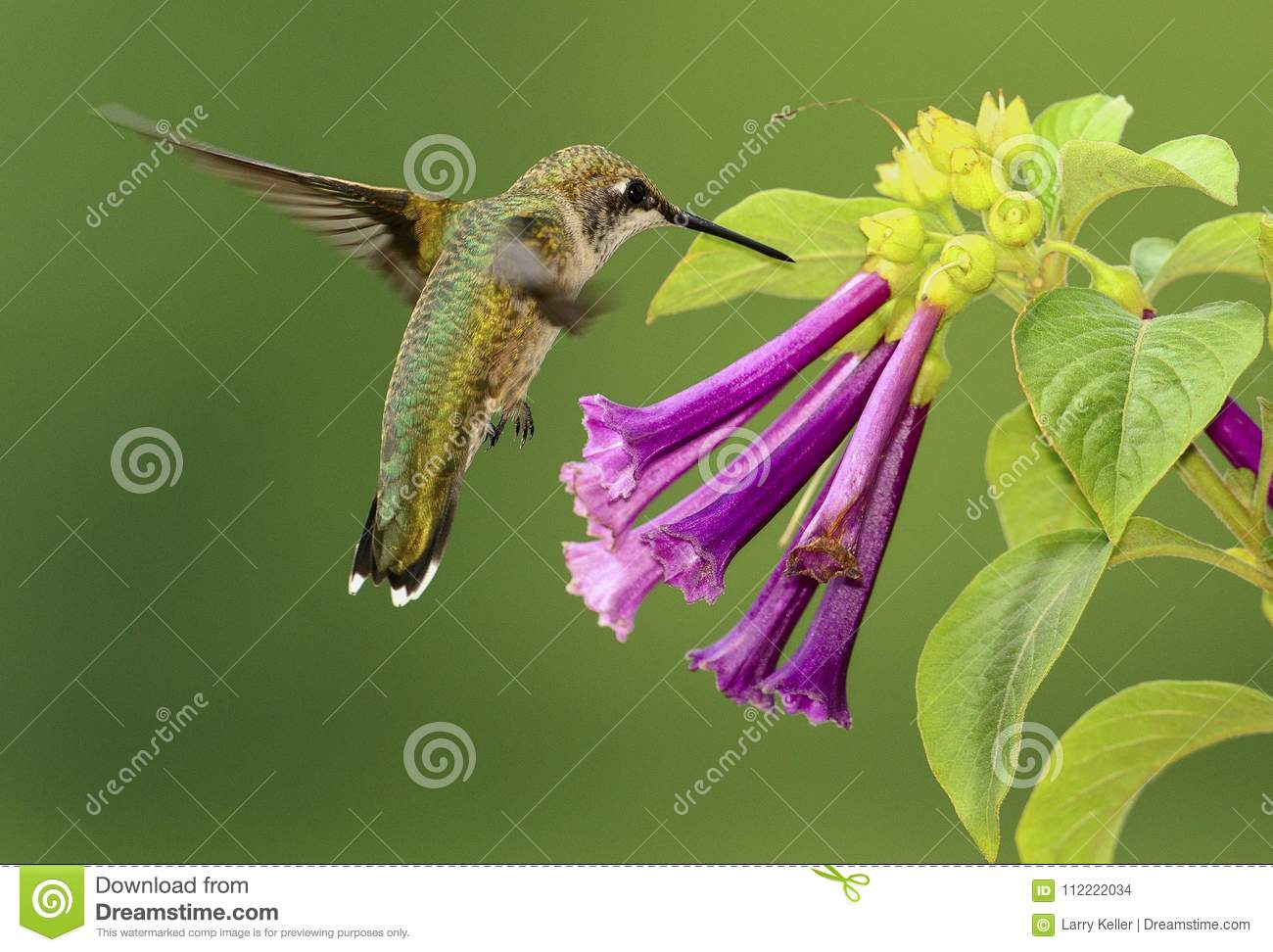 Ruby-throated Hummingbird and Violet Flowers