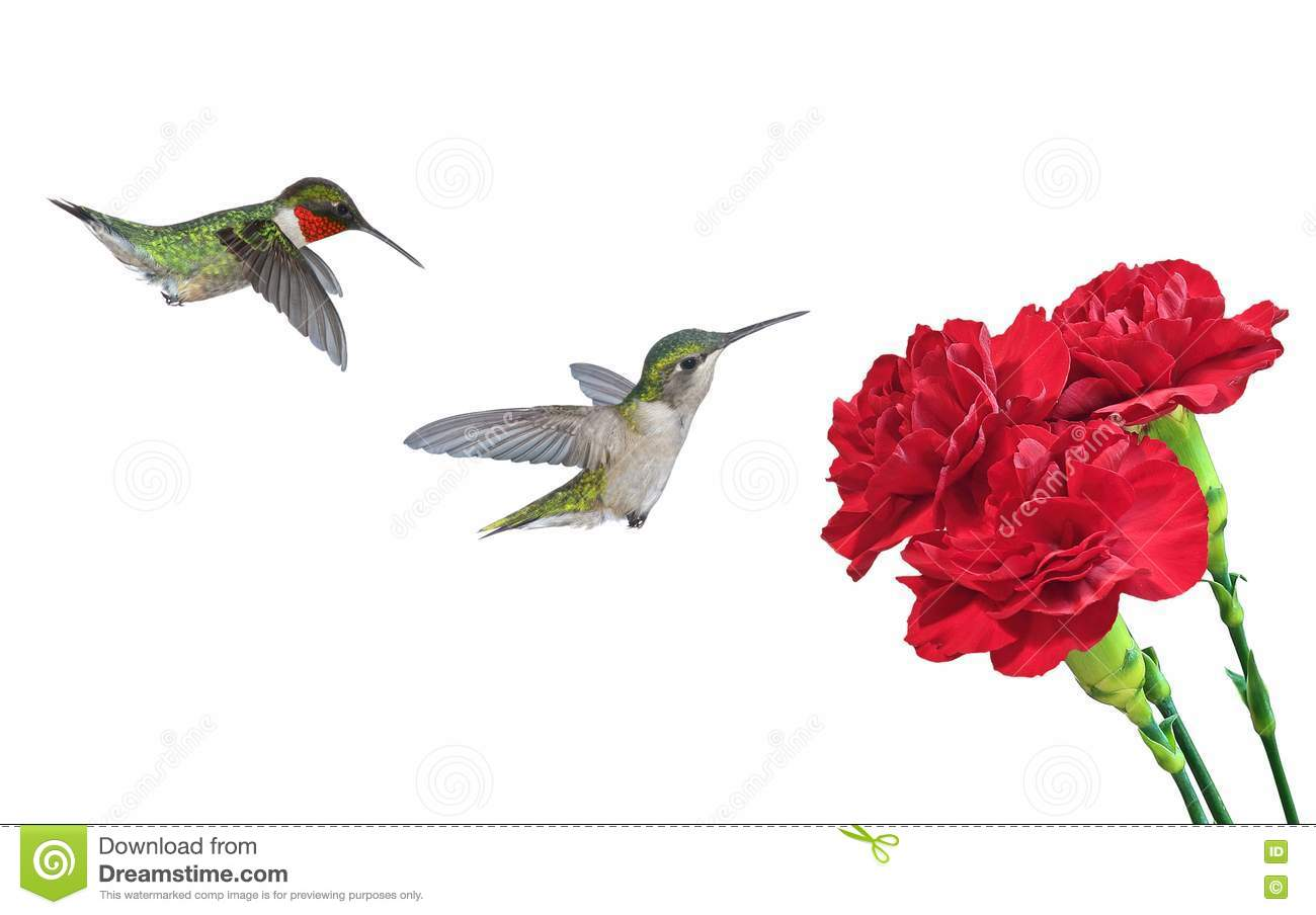 Ruby Throated Hummingbirds At Red Carnations Stock Photo