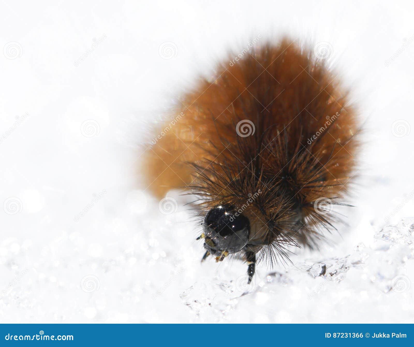 Ruby tiger caterpillar