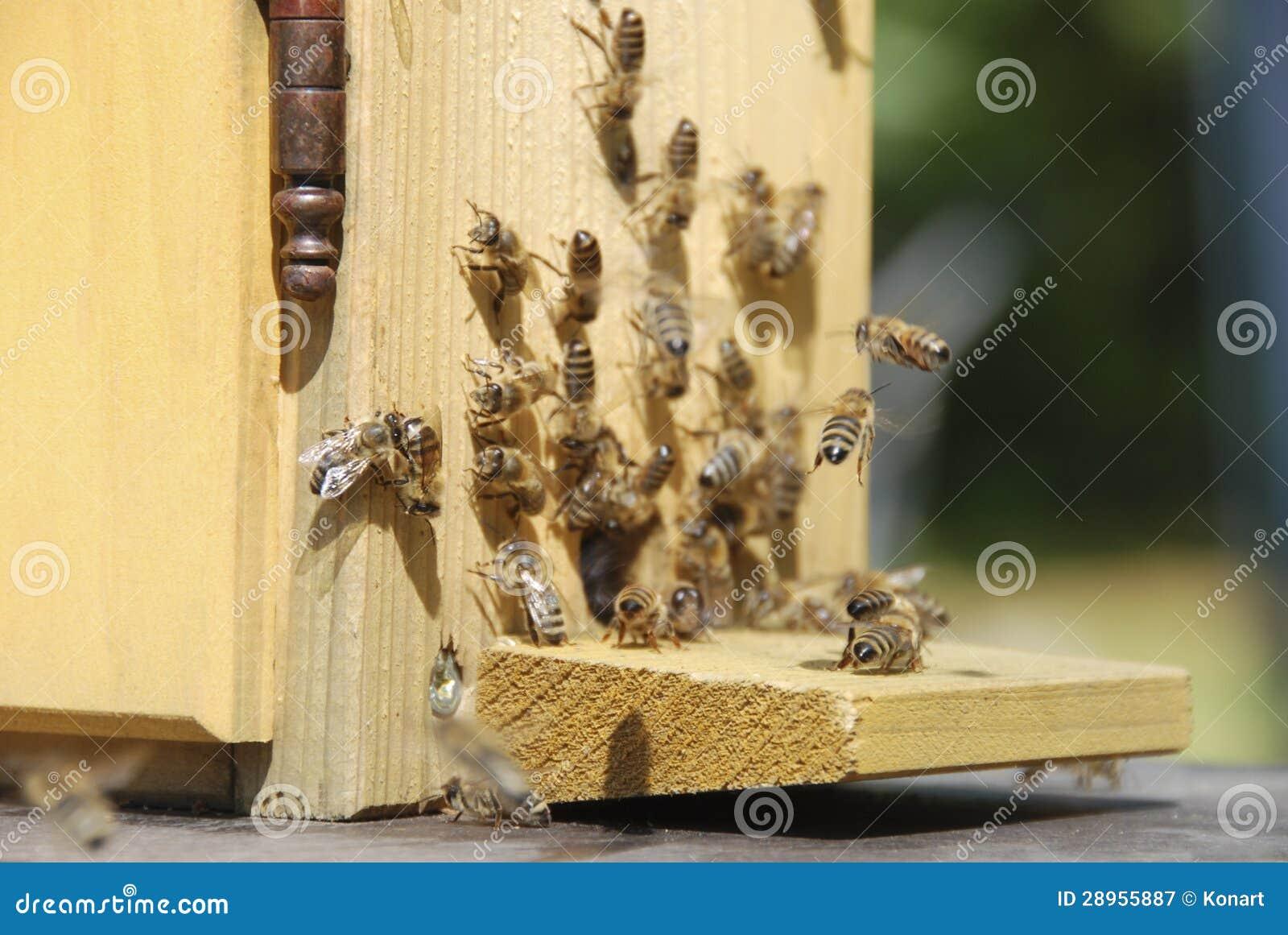 Ruchliwie pszczoły przed rojem