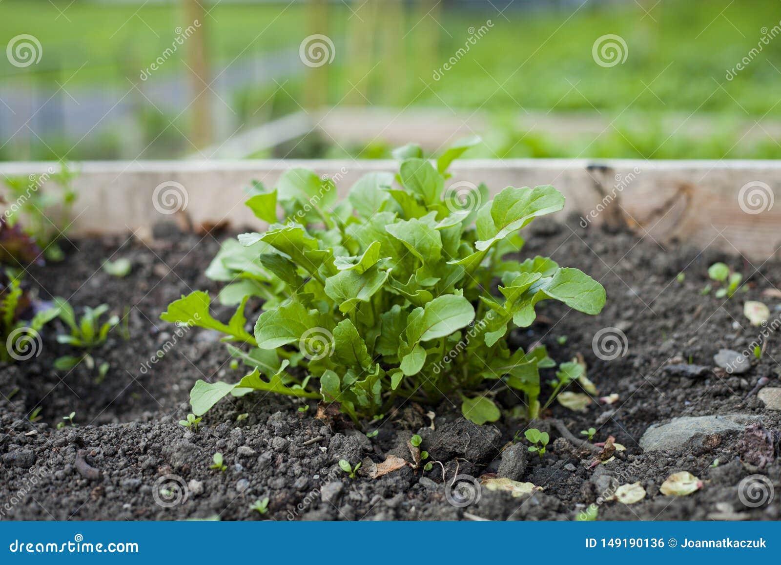 Rucola - foglie della lattuga dell insalata di razzo che crescono nell orto con i letti alzati