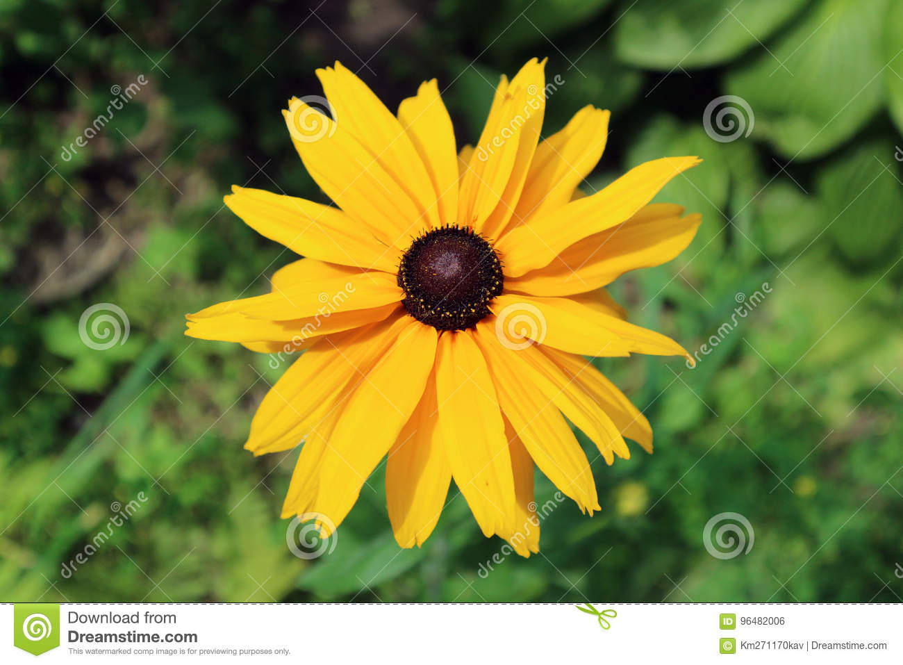 Rudbeckia Gloriosa Double Gold Large Yellow Flower With Brown