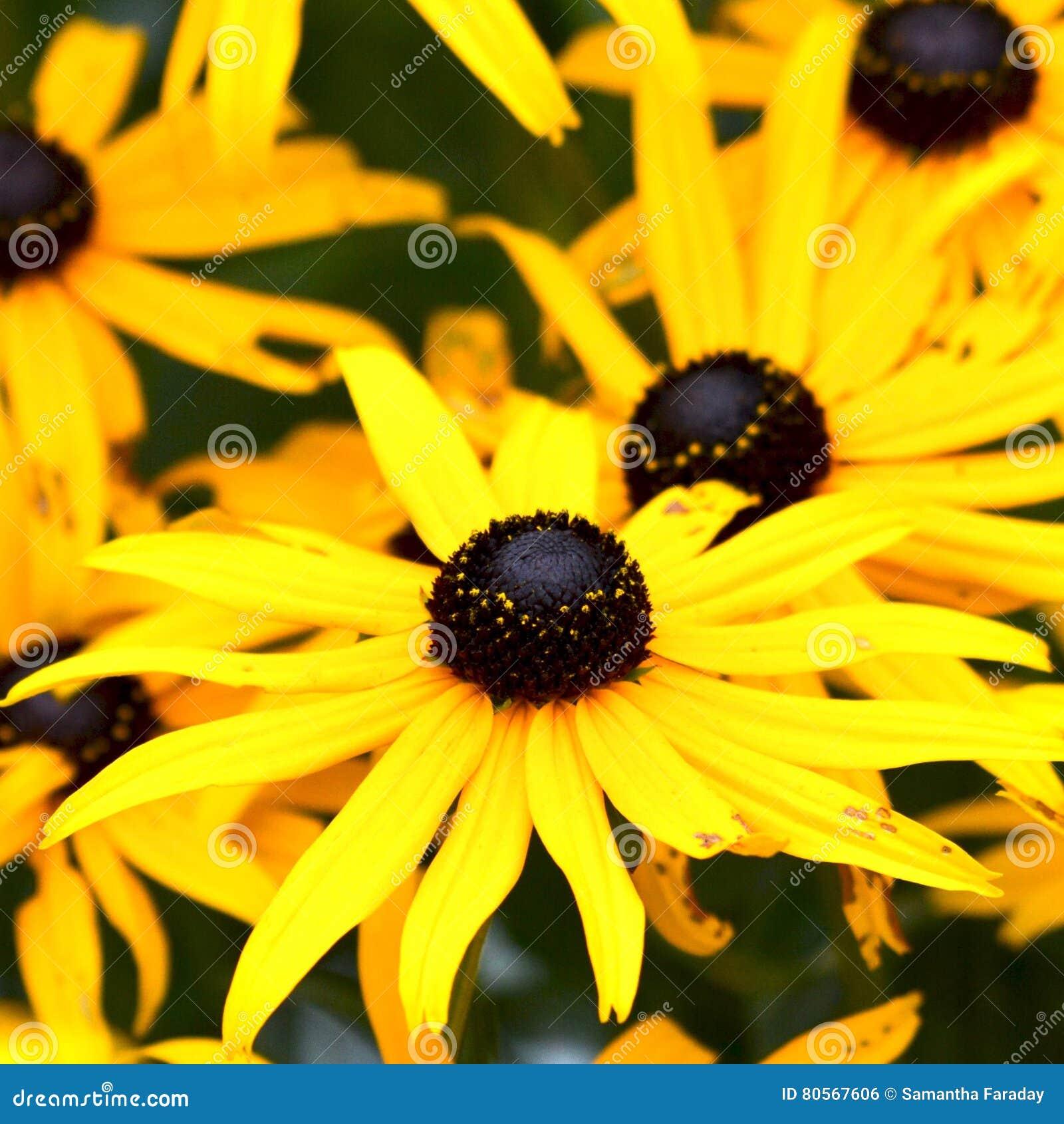 Rudbeckia également connu sous le nom de le noir observait Susan