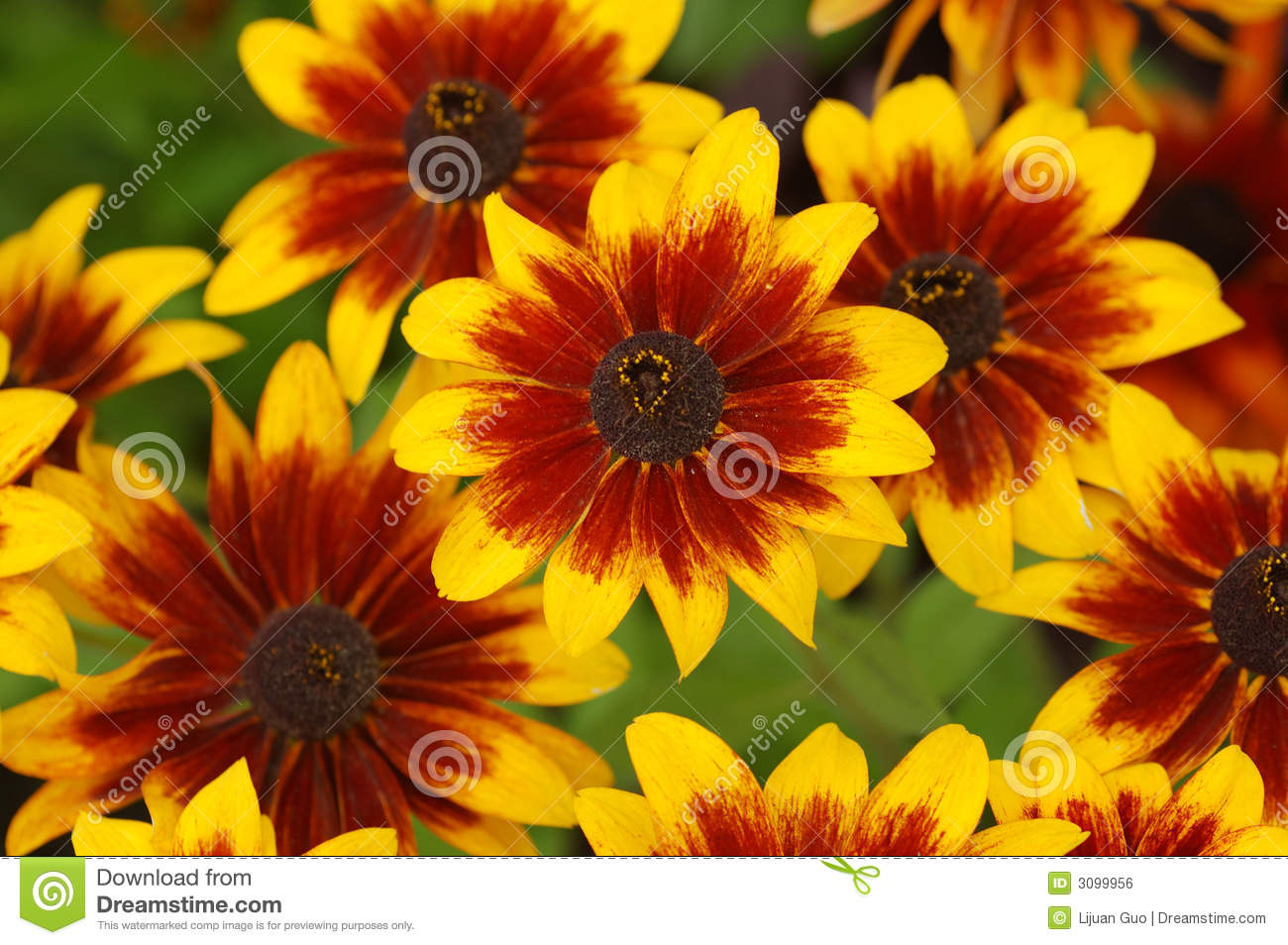 Fall color with rudbeckia flowers, common name, cone-flowers.