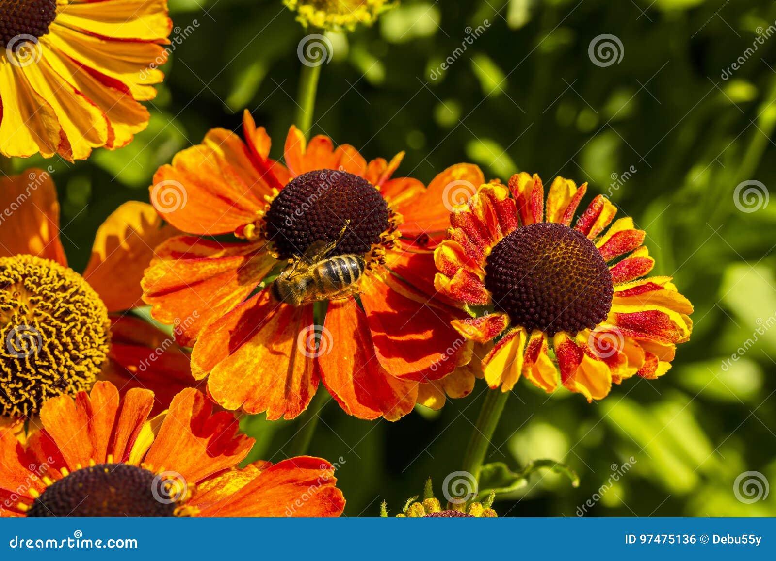 Rudbeckia flowers with honey bee close-up.