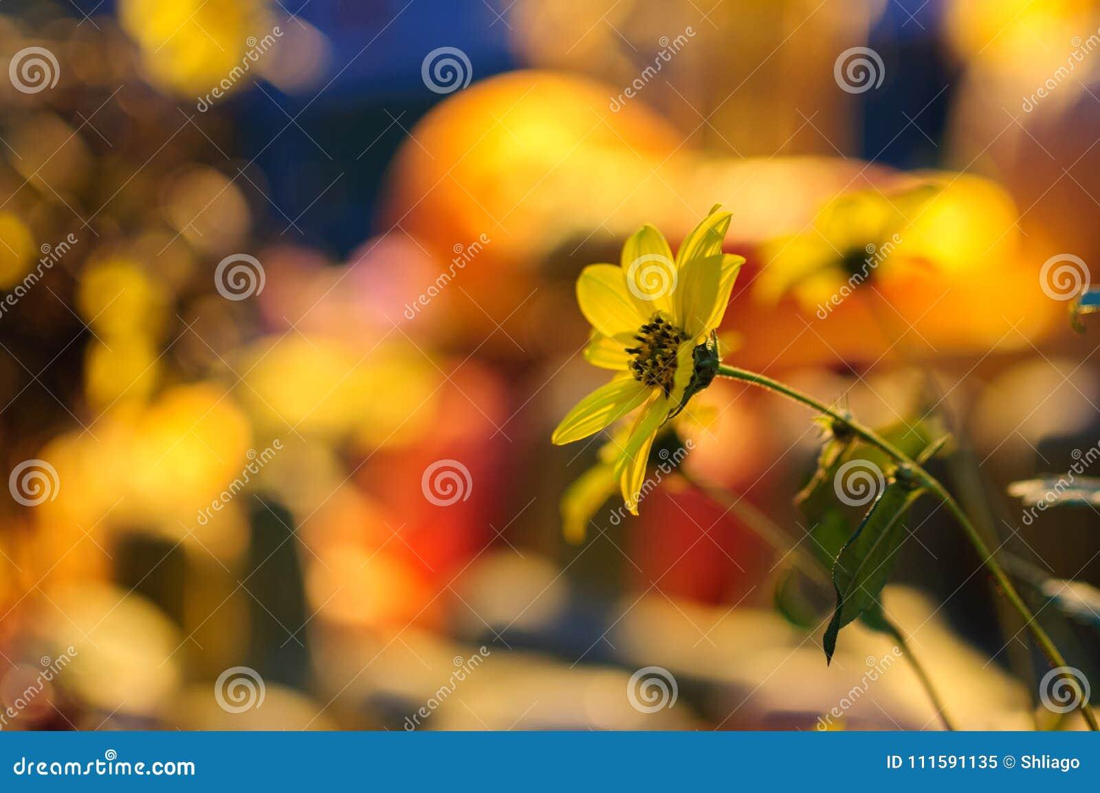 Rudbeckia, gloriosatusensköna, guld- tusensköna, gul tusensköna eller gulingprästkrage