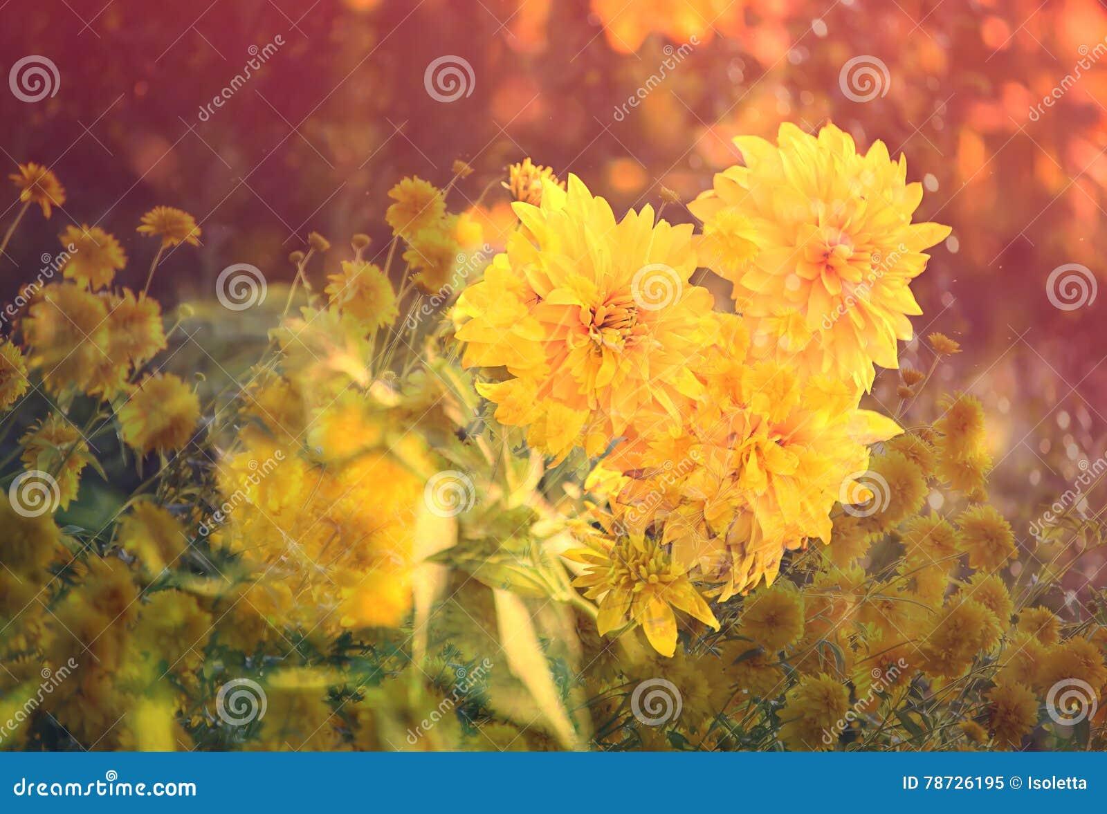 Rudbeckia Golden Ball Flower Stock Image Image Of Botany Eyed