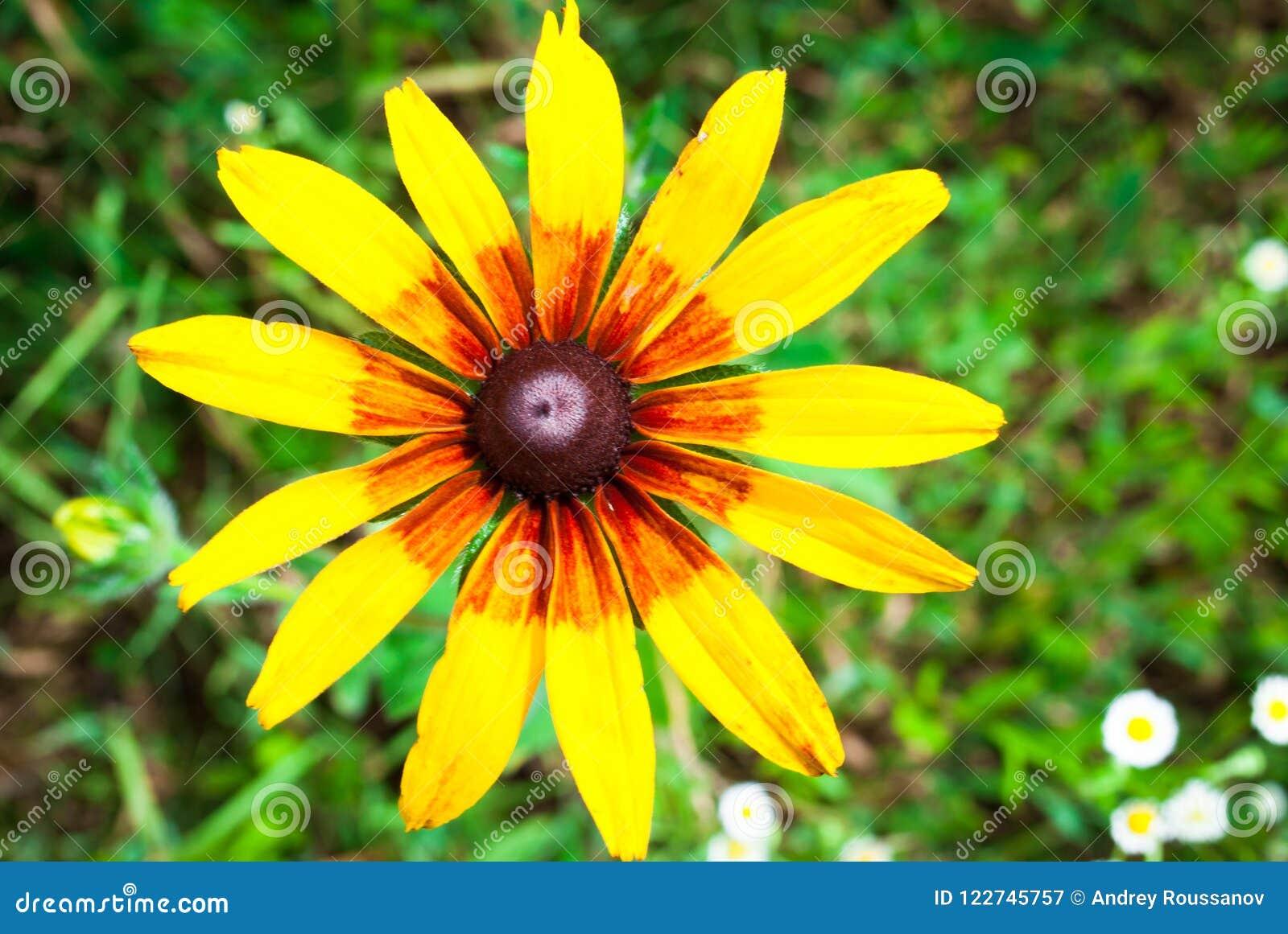 Rudbeckia Hirta, également connu sous le nom de Susan aux yeux noirs ou aux yeux bruns, b