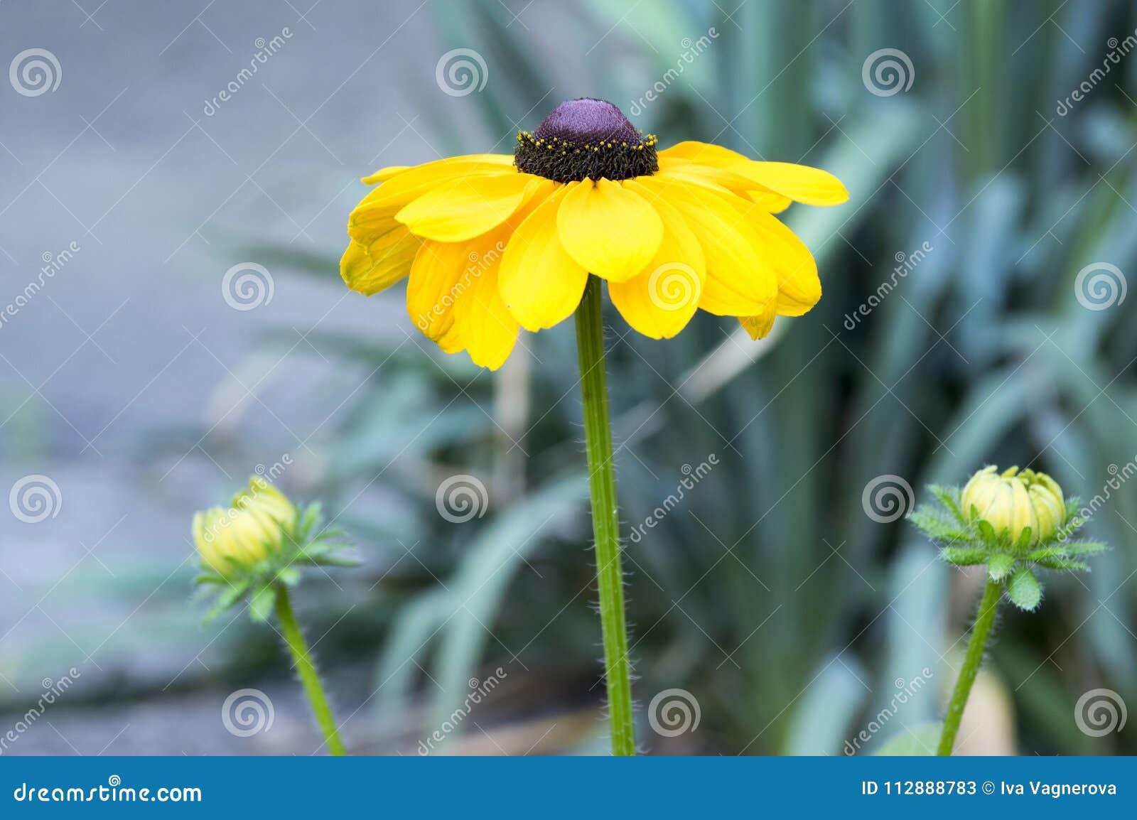 Rudbeckia Hirta Black Eyed Susan Flower With Yellow Petals And Dark