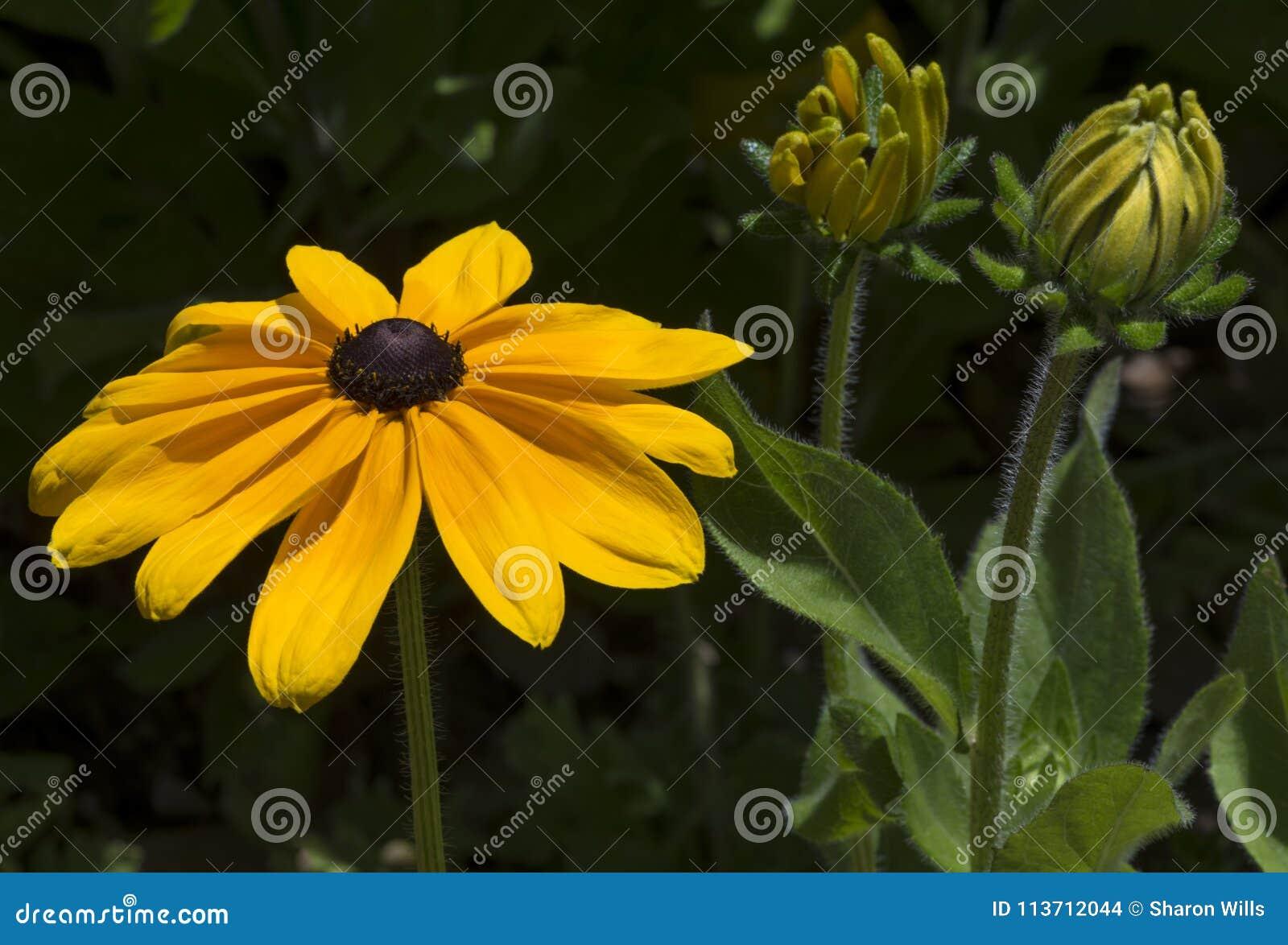Rudbeckia Hirta Susan ou marguerite aux yeux noirs de Gloriosa