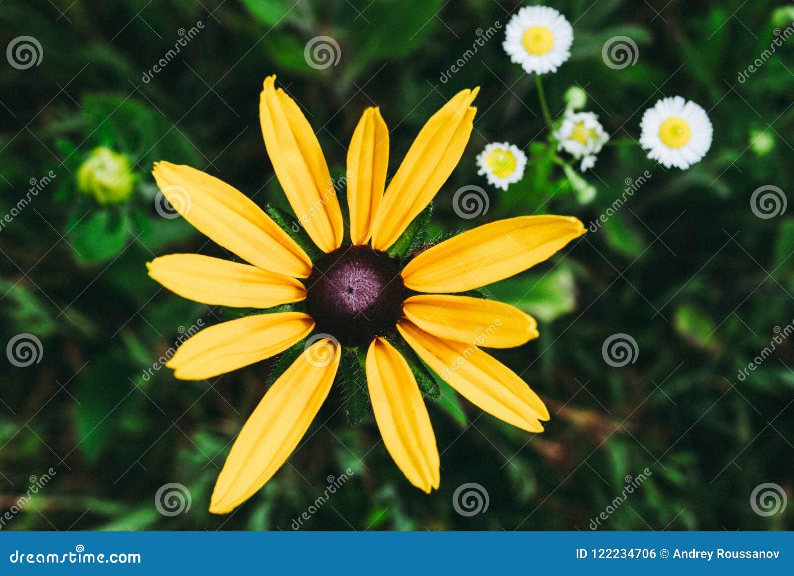 Rudbeckia Hirta, también conocido como Susan negro-observada o de ojos marrones, b