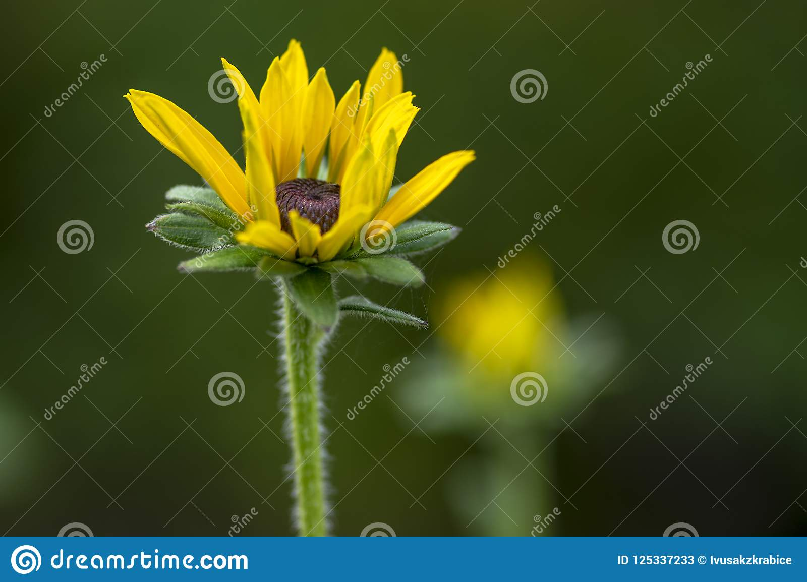 Rudbeckia Hirta Yellow Flower With Black Brown Center In Bloom