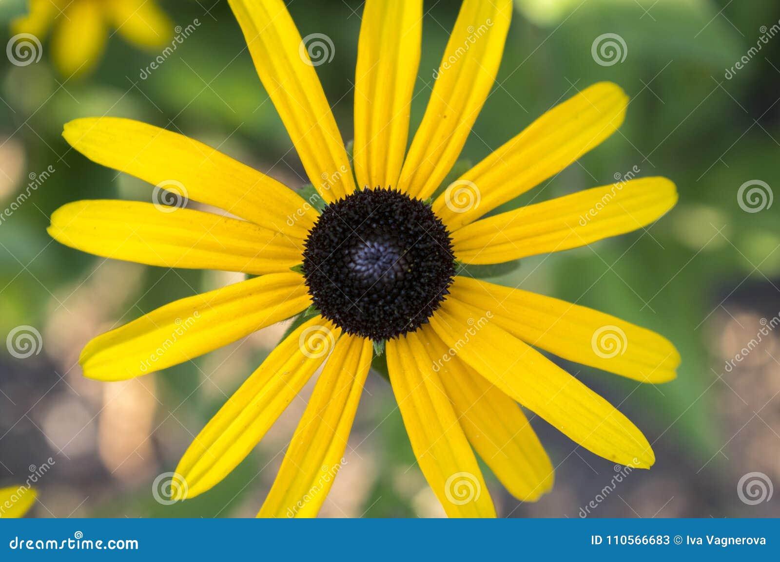 Rudbeckia hirta yellow flower with black brown centre in bloom download rudbeckia hirta yellow flower with black brown centre in bloom black eyed susan in mightylinksfo
