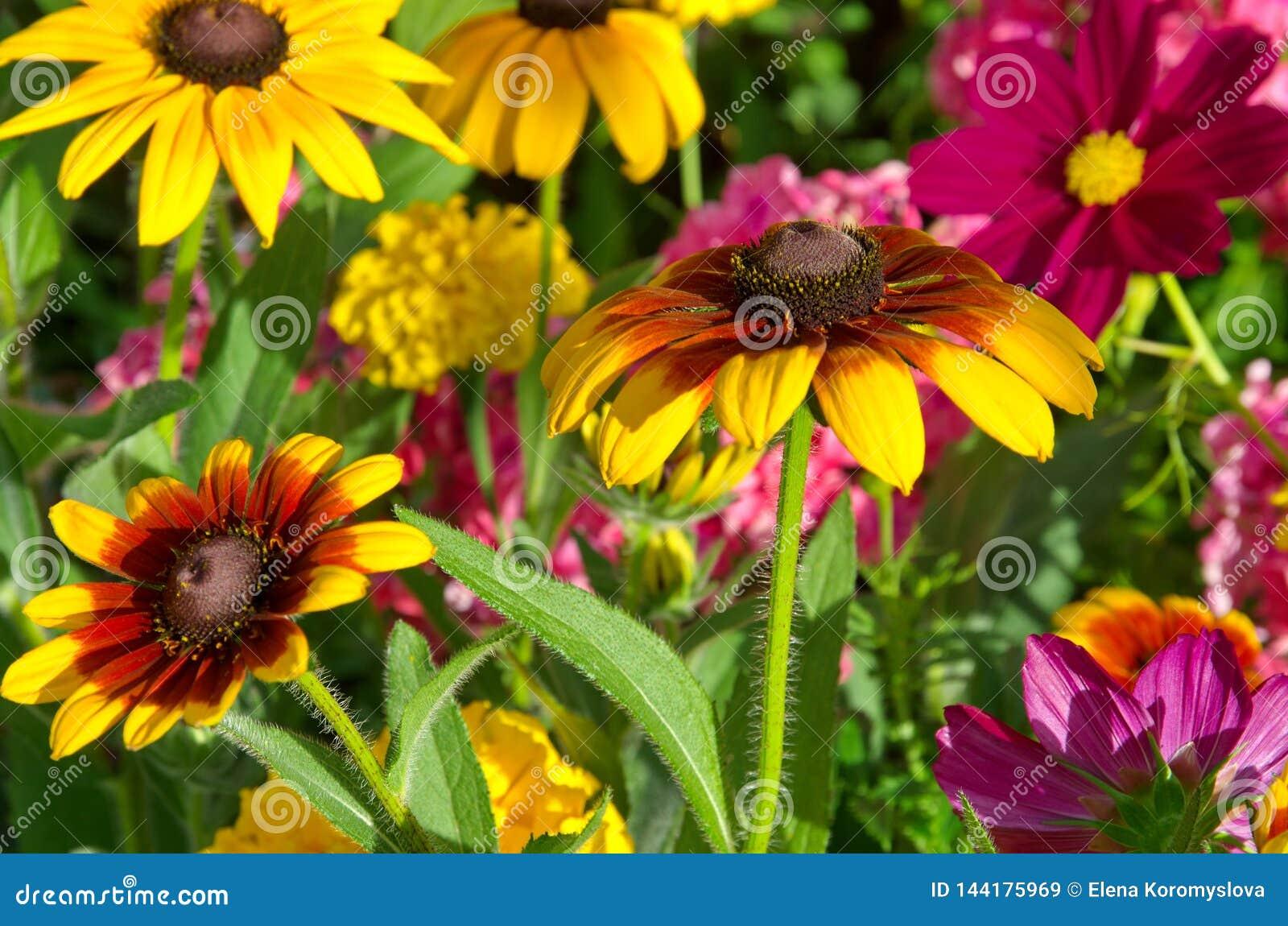 Rudbeckiablommor blommar i trädgården