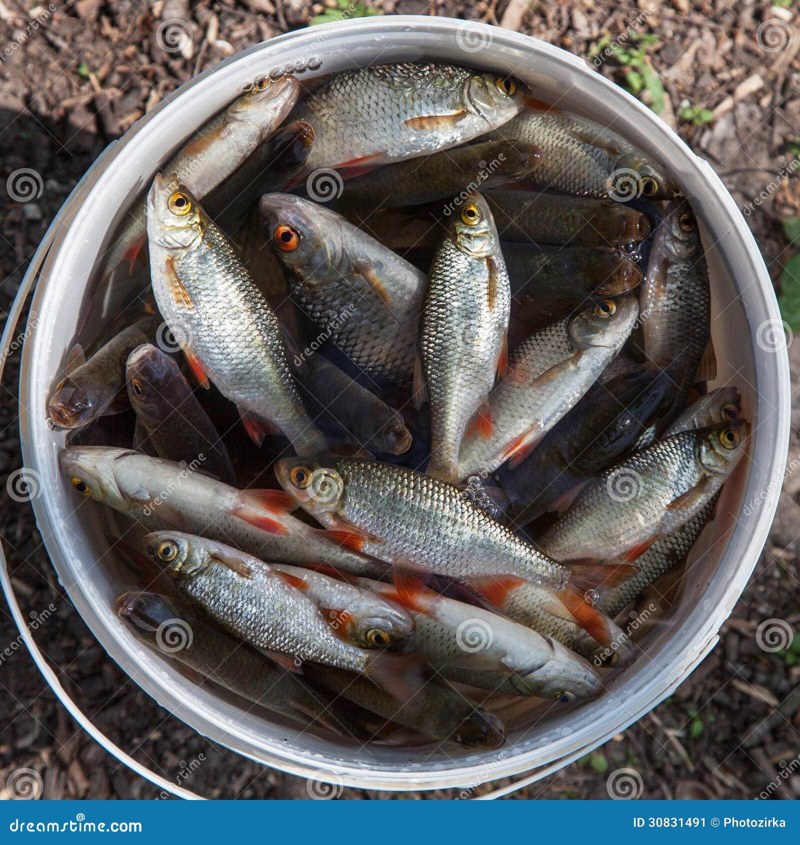 Rudd dei pesci freschi