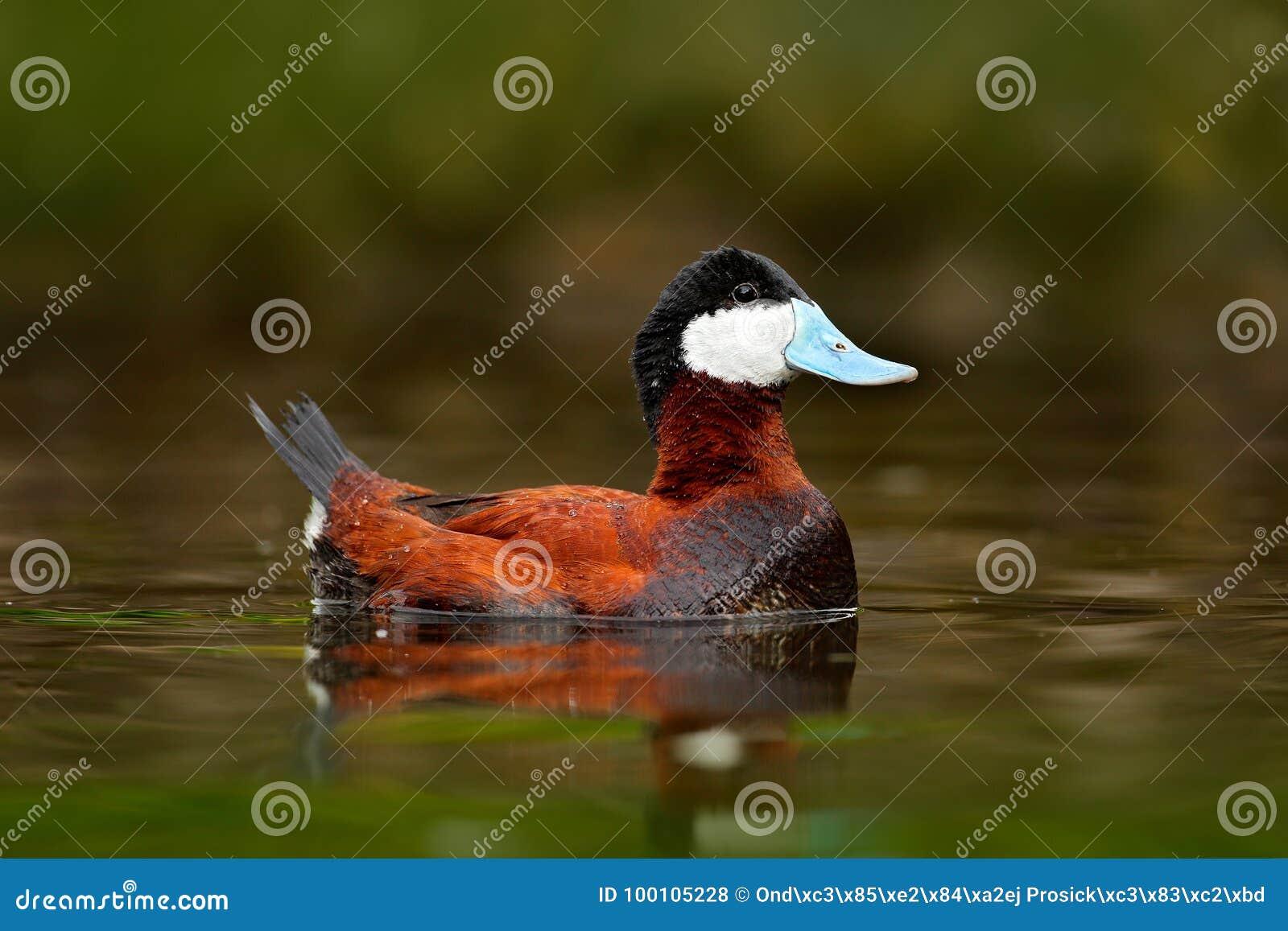Ruddy Duck, jamaicensis do Oxyura, com verde bonito e vermelho coloriu a superfície da água Homem do pato marrom com conta azul A