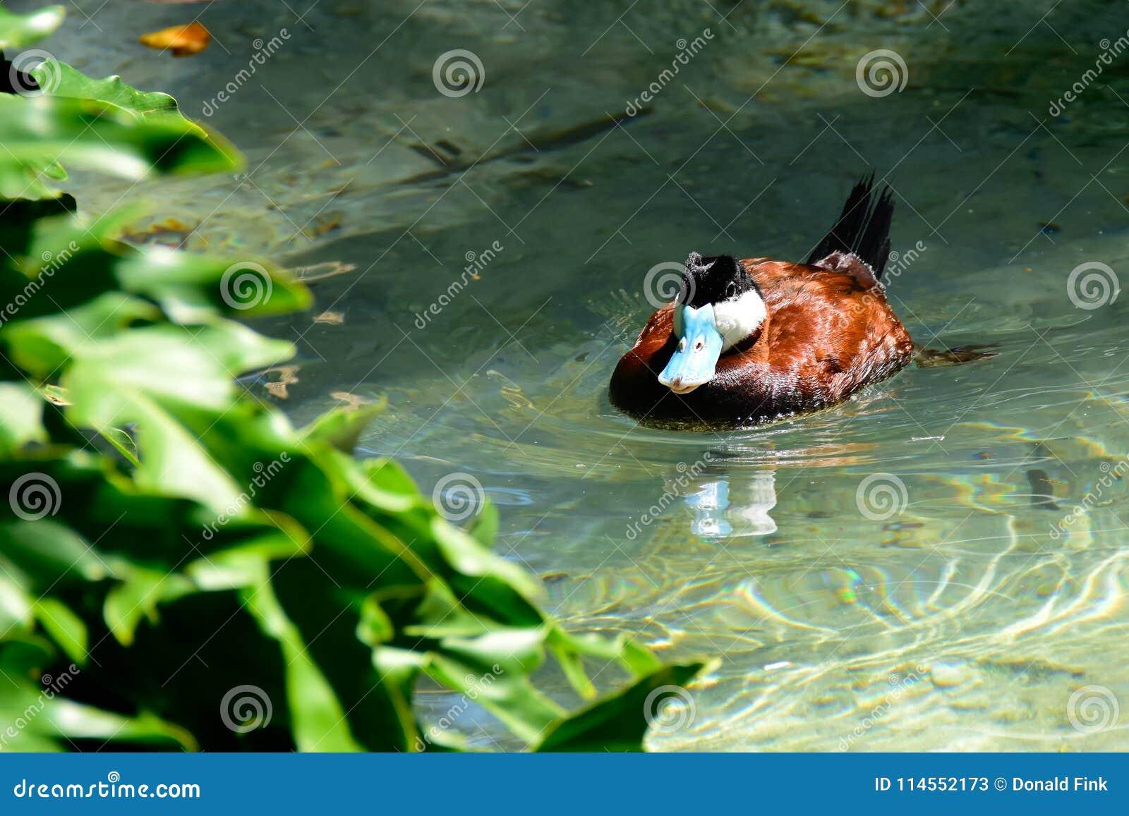 Ruddy Duck-Schwimmen in einem Teich