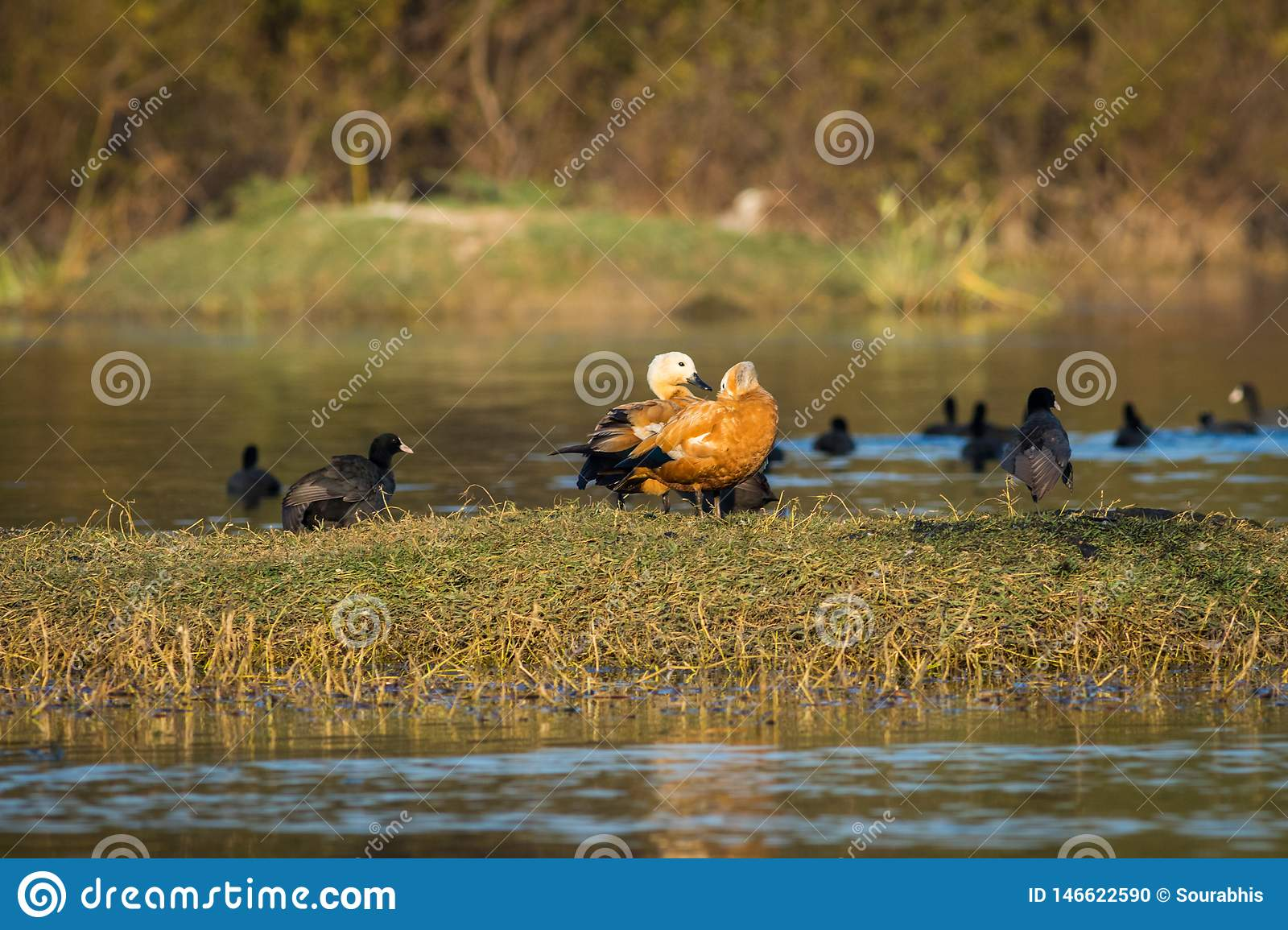Ruddy shelduck pair closeup sitting in evening light