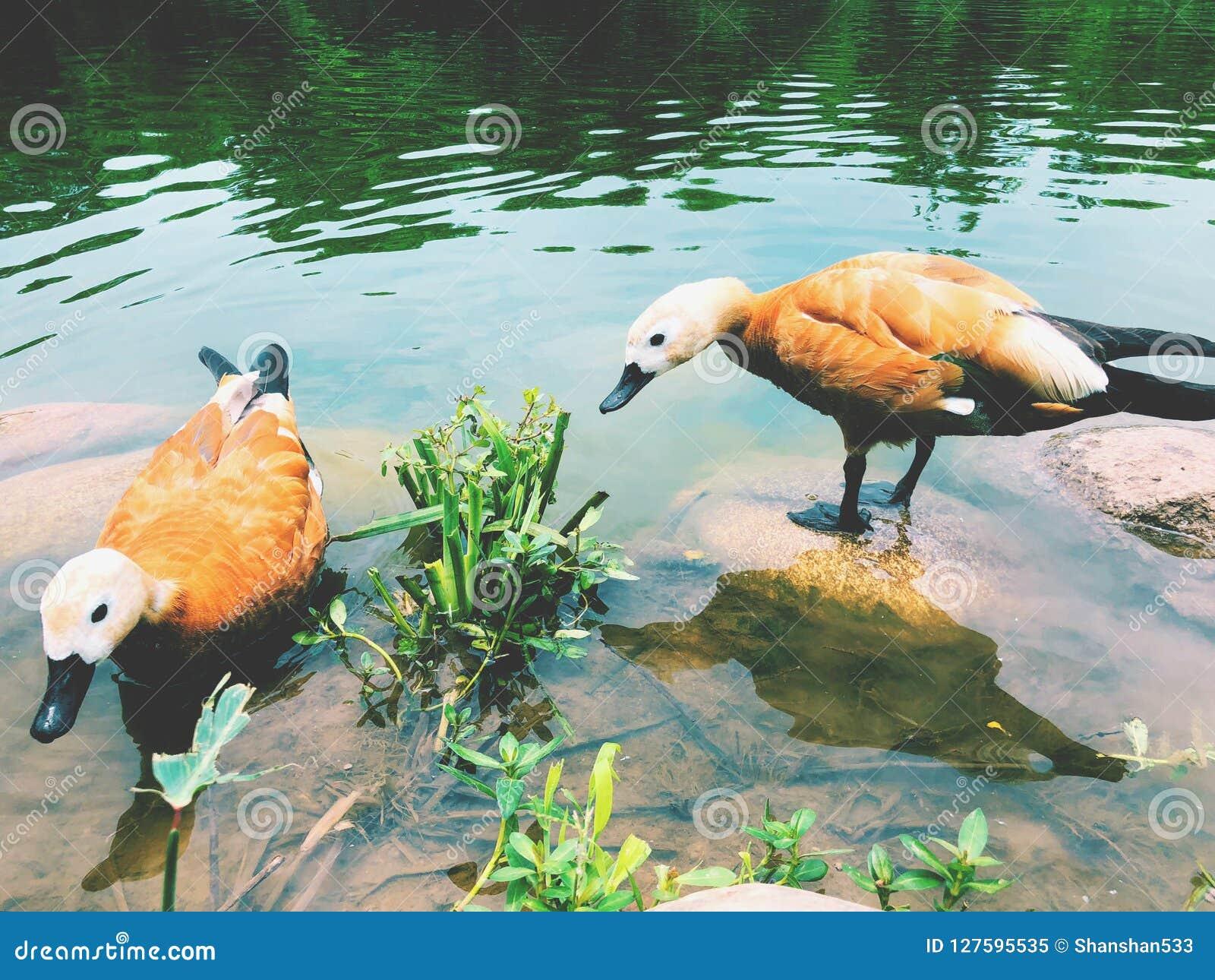 Ruddy Shelduck-Schwimmen im See