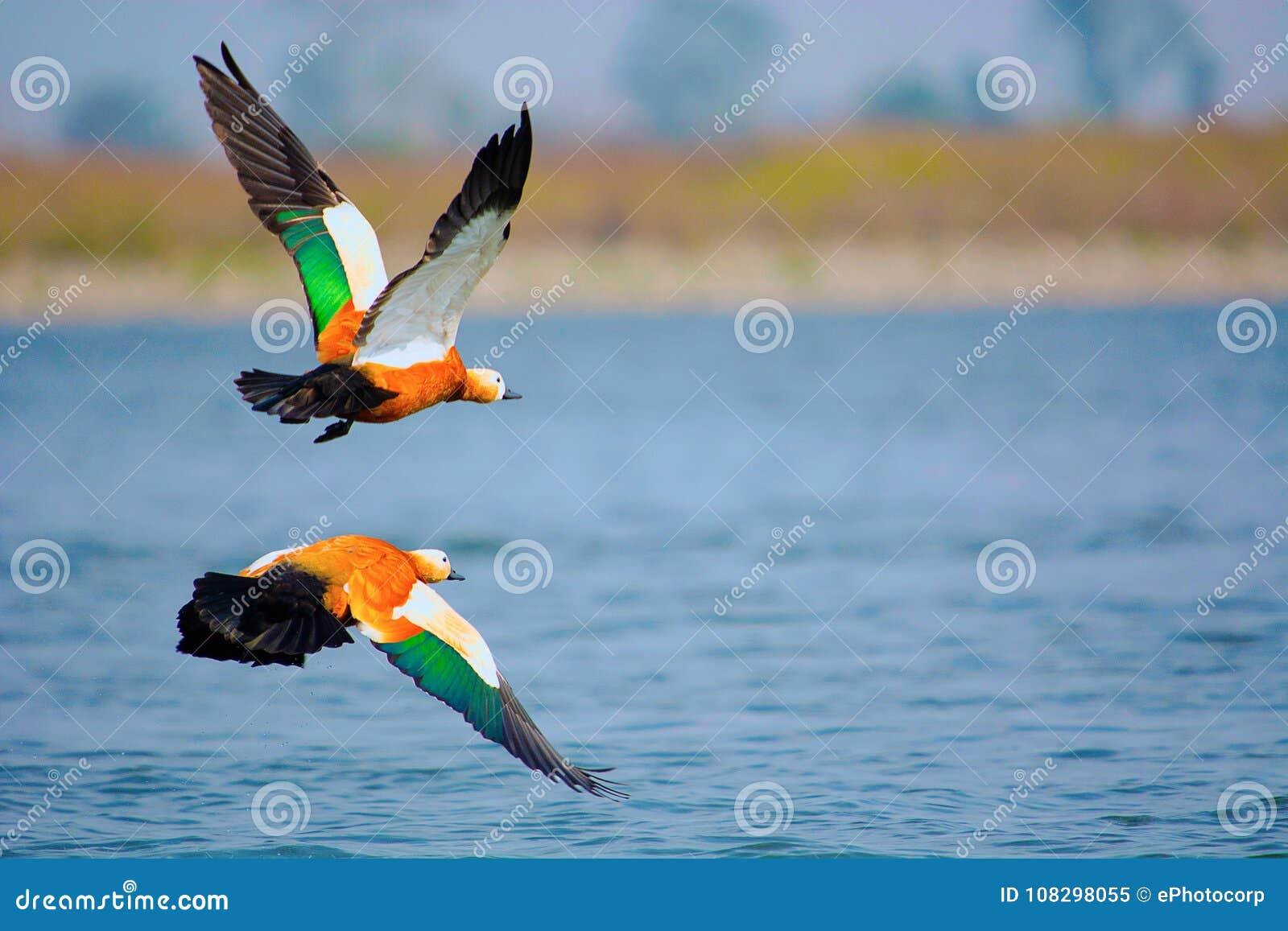 Ruddy shelduck, Tadorna ferruginea known in India as the Brahminy duck