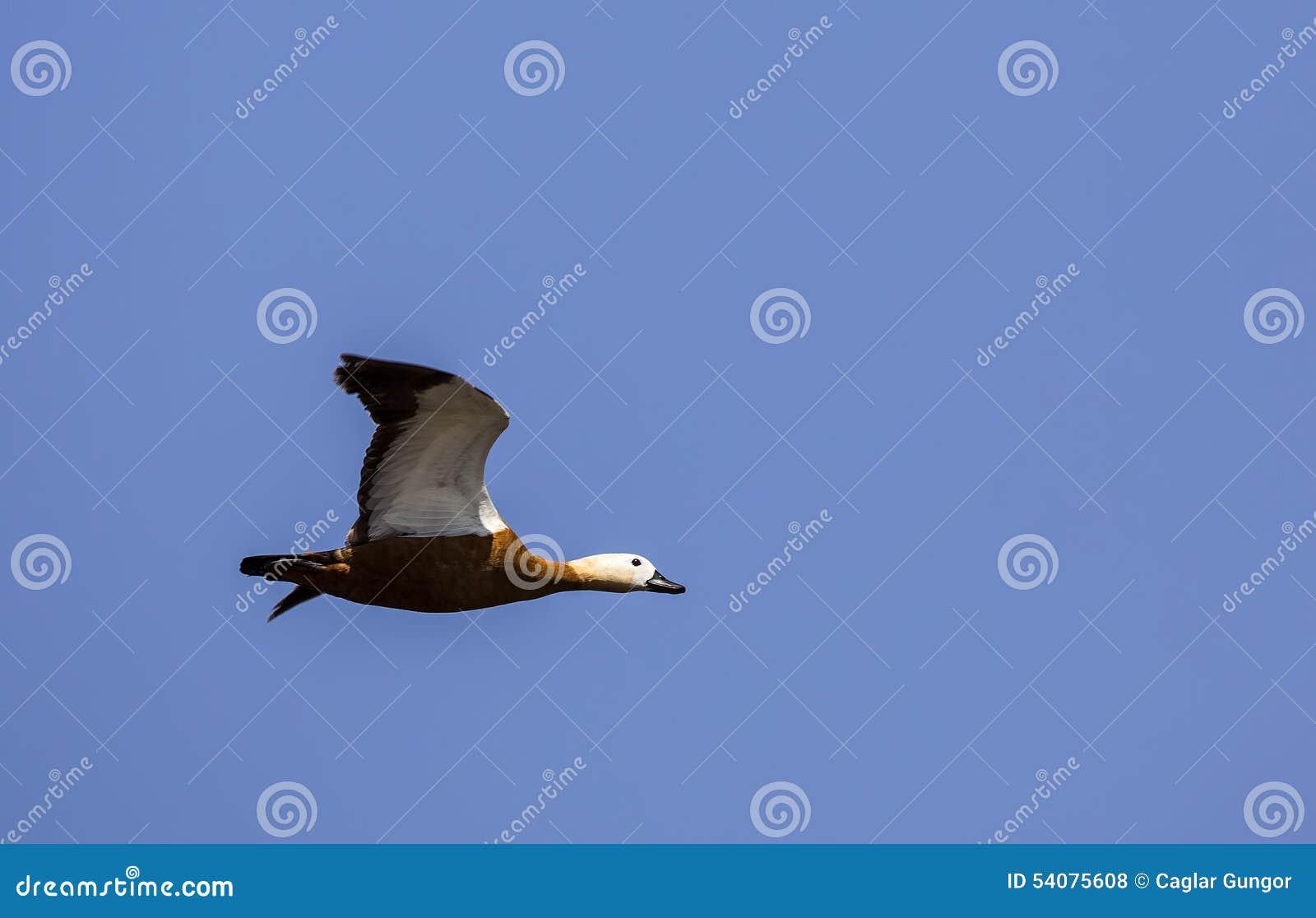 Ruddy Shelduck tijdens de vlucht